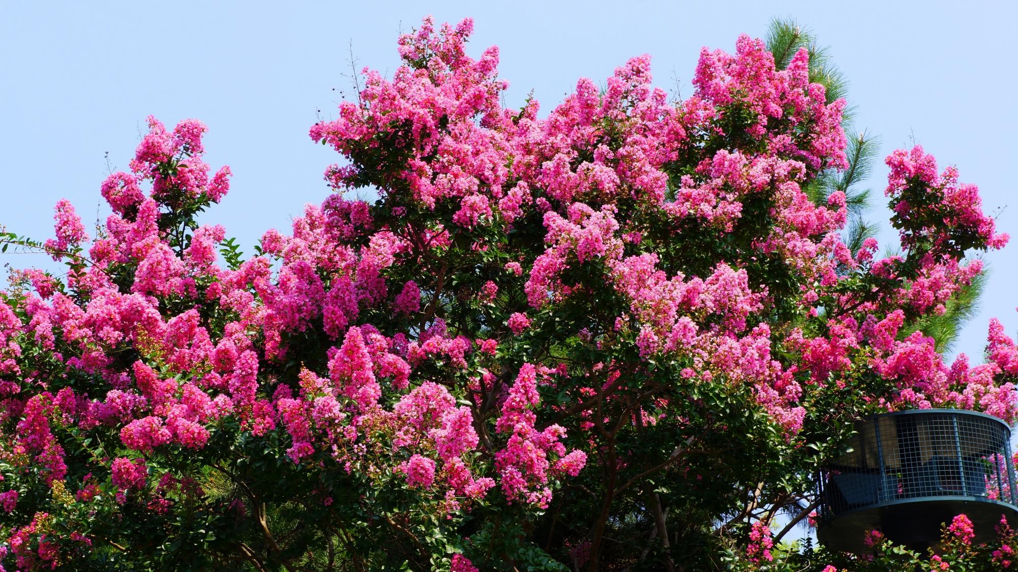 灼熱の中で鮮やかに咲く京都御苑のサルスベリ