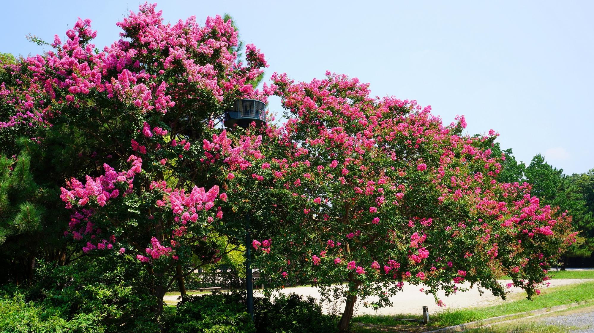 太陽に照らされて煌びやかに輝く百日紅のピンクの花