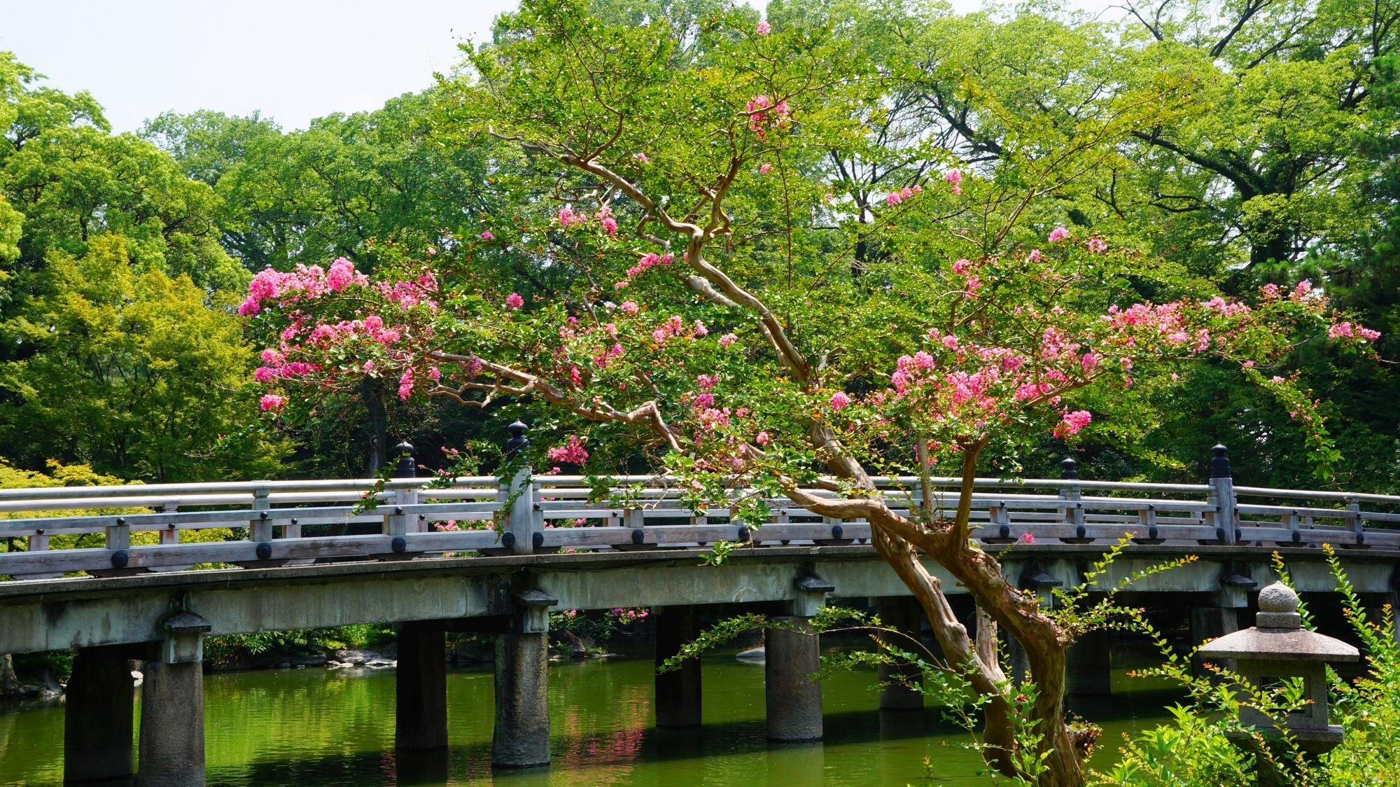 京都御苑の九條池に架かる石橋を染める趣きあるサルスベリ