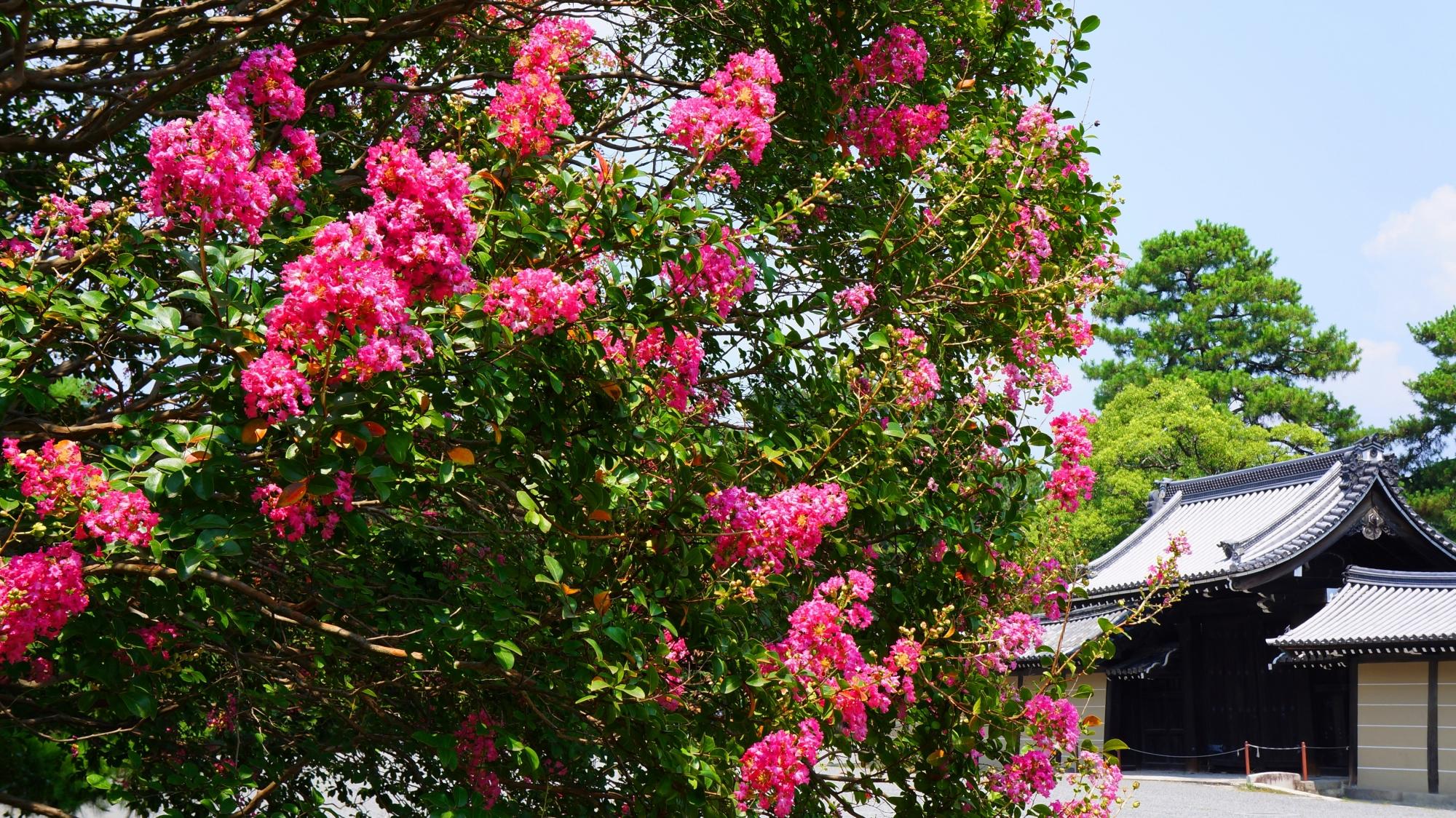 京都御苑の素晴らしいサルスベリの花と真夏の情景
