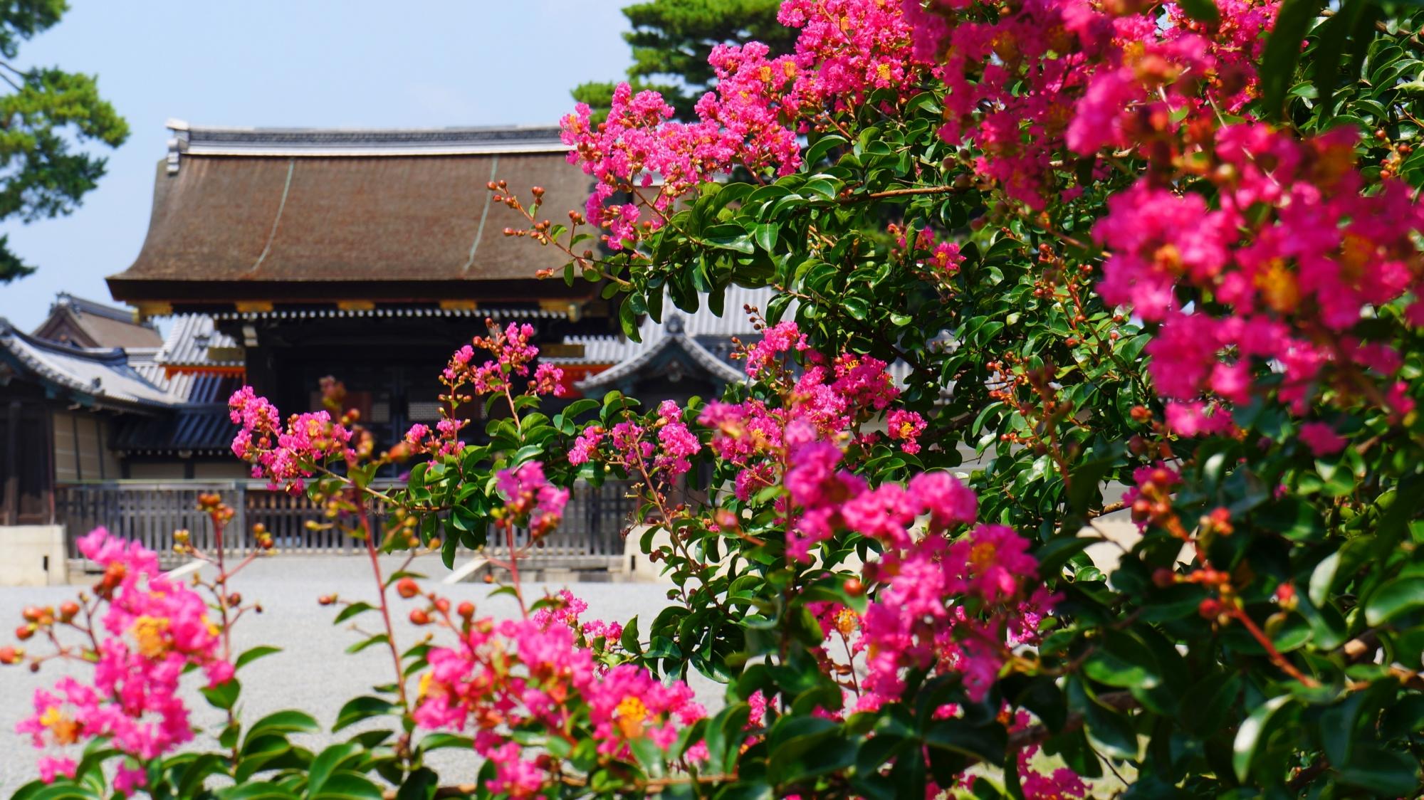 鮮やかな濃いピンクの百日紅につつまれる京都御苑の建礼門