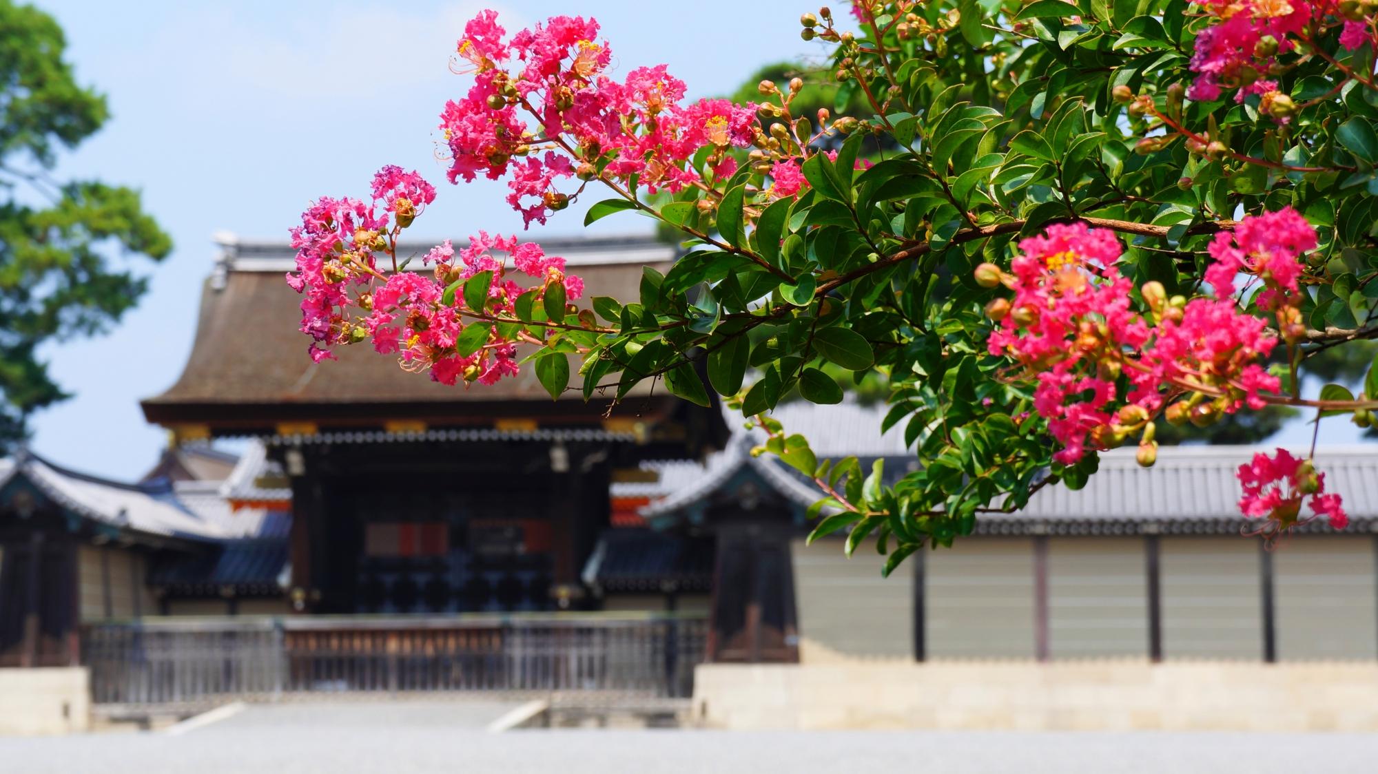 京都御苑と京都御所の絵になるサルスベリの風景