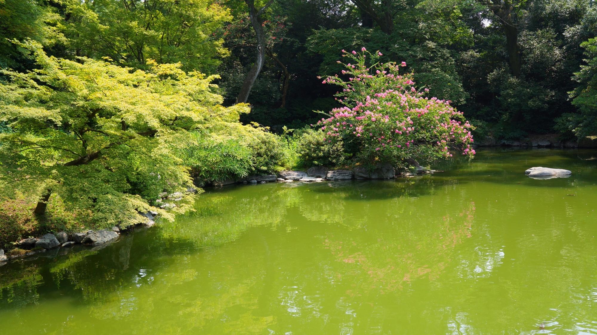 青もみじとともに水辺を鮮やかに彩る京都御苑の百日紅