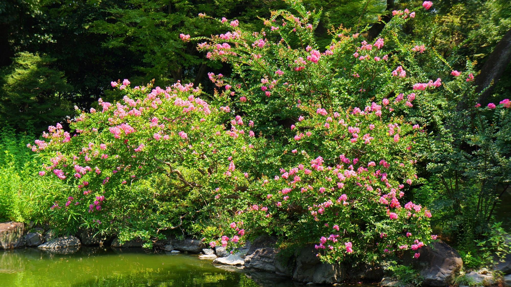 眩い緑の上で煌くピンクのサルスベリの花