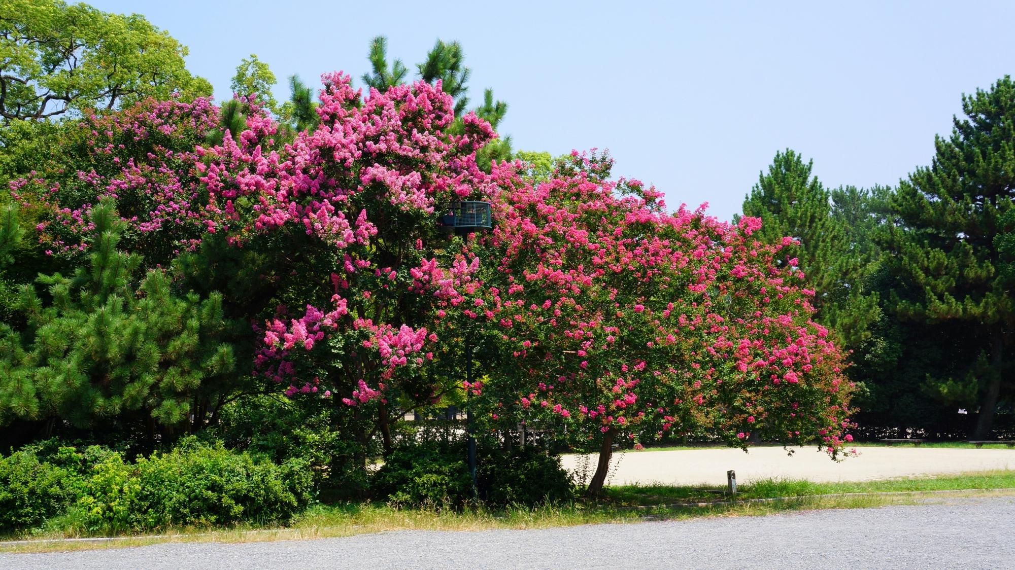 京都御苑のトンボ池付近の満開の百日紅(サルスベリ)