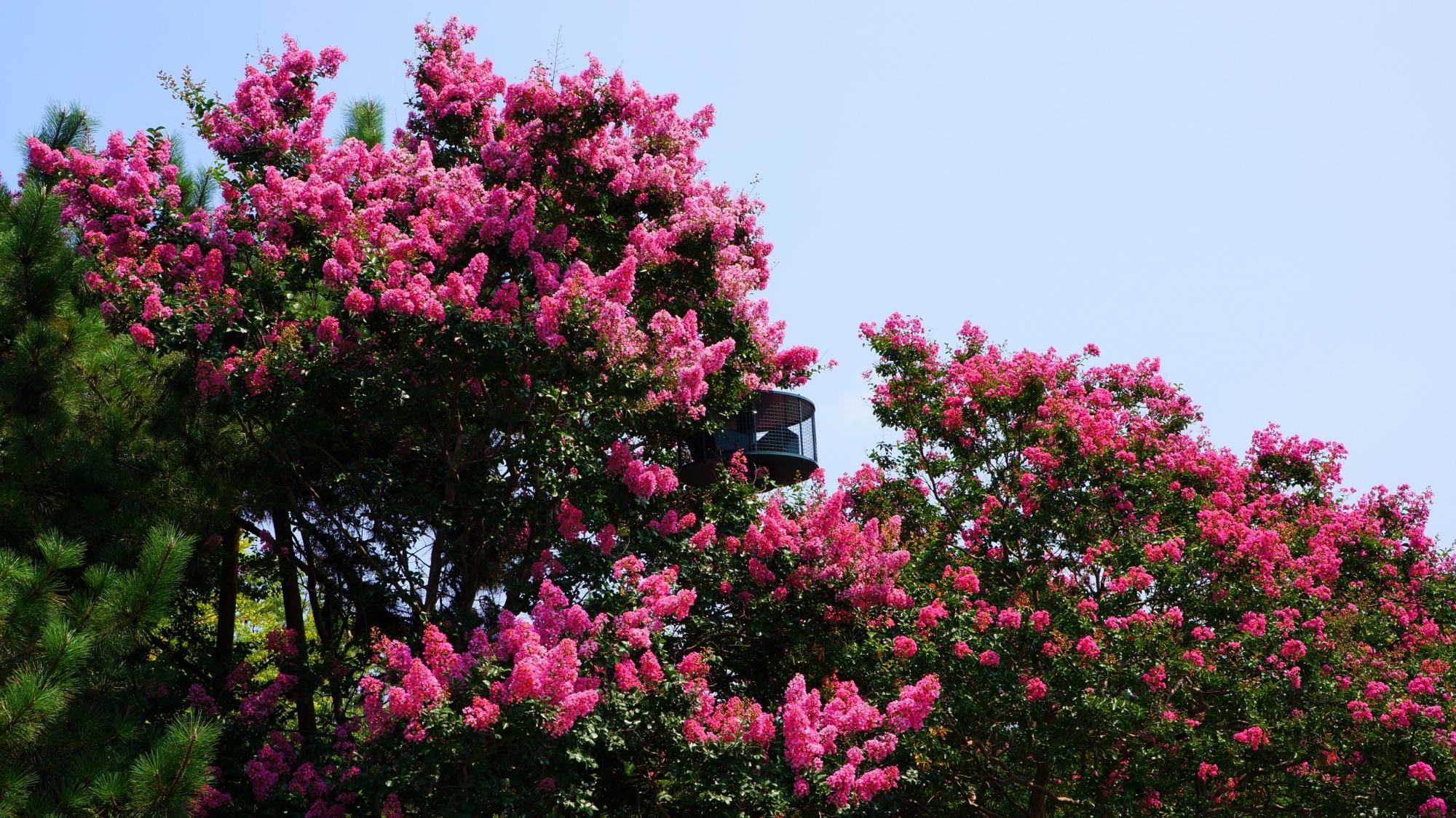 溢れんばかりに咲き誇る京都御苑のサルスベリの花