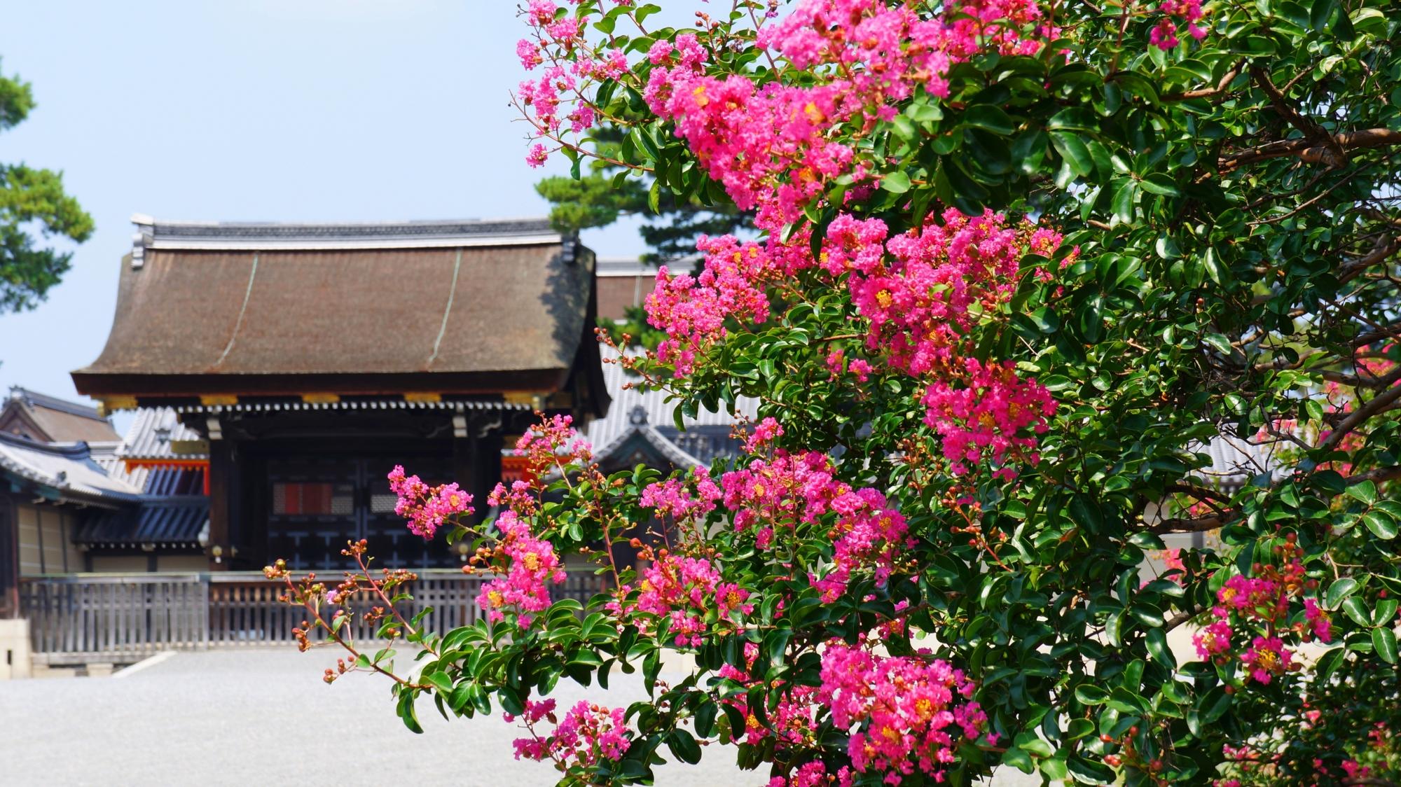 京都御所の建礼門を彩る美しいピンクの百日紅