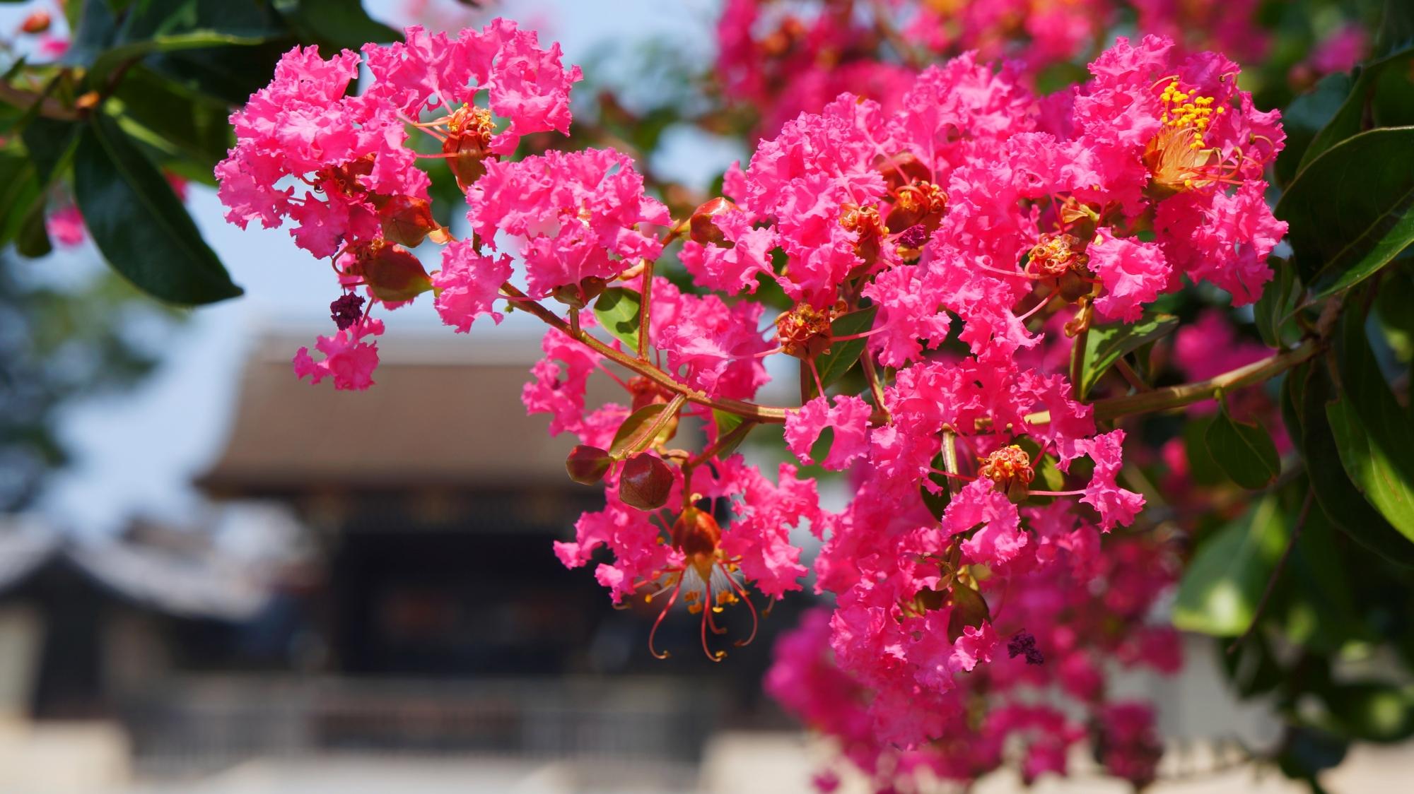 京都御苑 さるすべり 真夏を彩る鮮やかなピンクの花