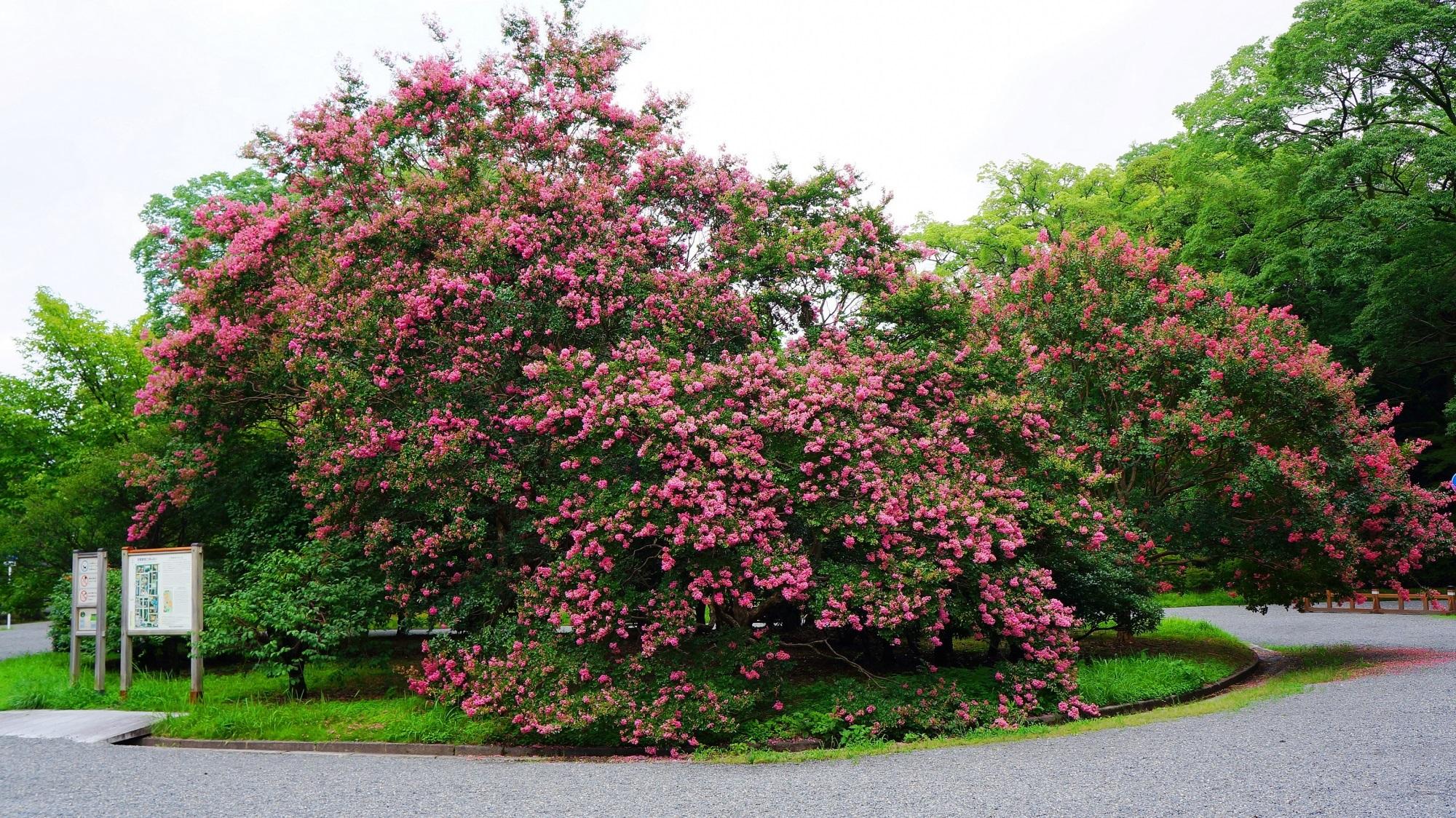 豪快に咲き誇る京都御苑の閑院宮邸跡前のサルスベリ