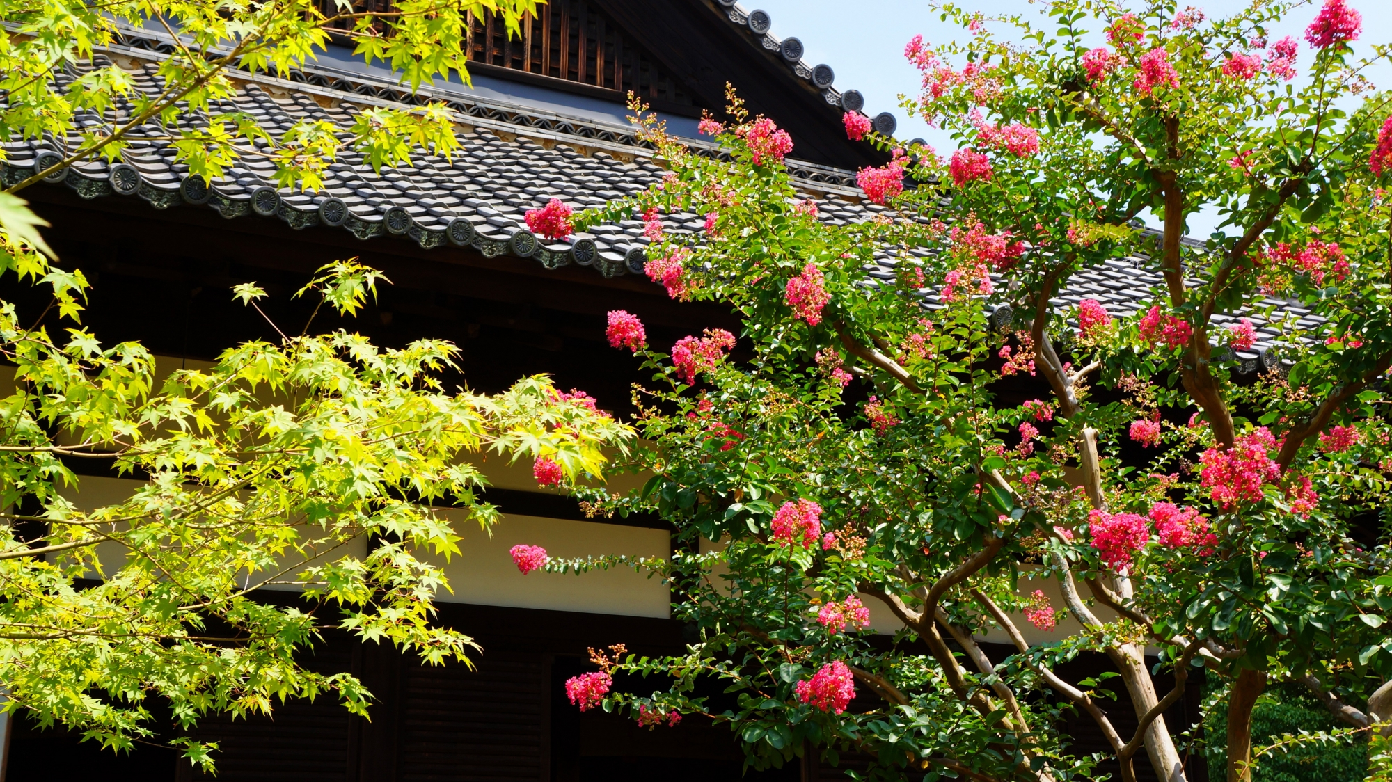 青蓮院 サルスベリと青もみじ 鮮やかなピンクと緑の庭園