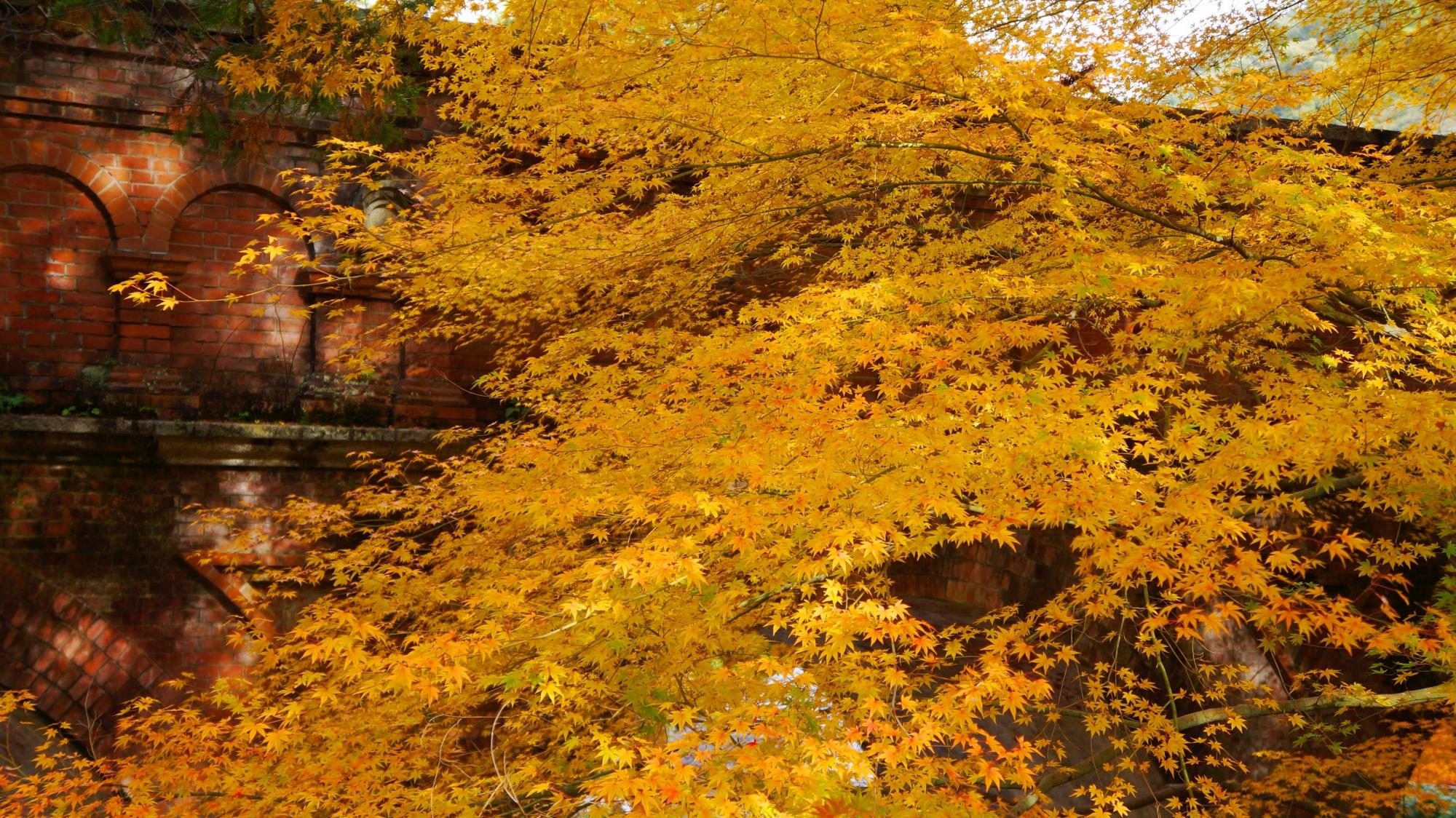 黄色い紅葉に染まるレトロな秋の水路閣