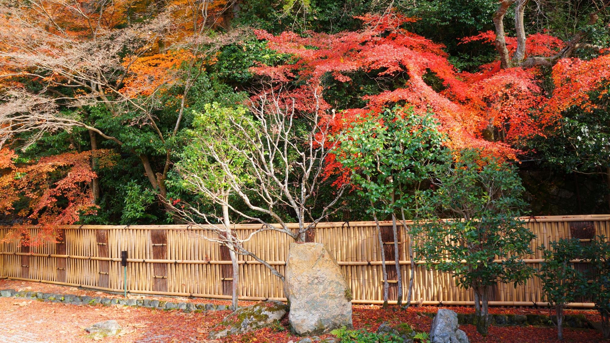 南禅寺垣を華やぐ紅葉と散りもみじ