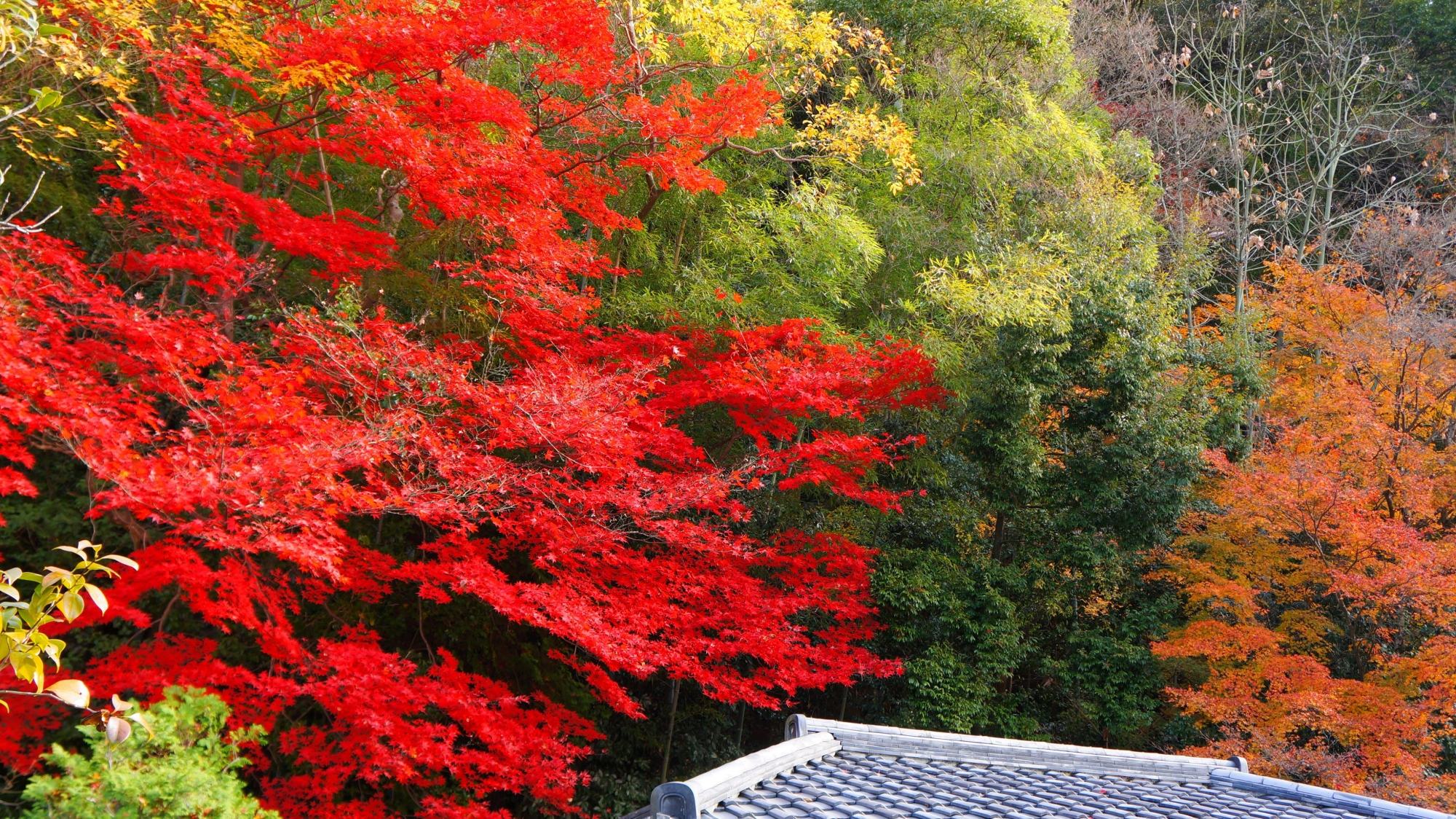 物凄い彩りの燃えるような真っ赤な紅葉