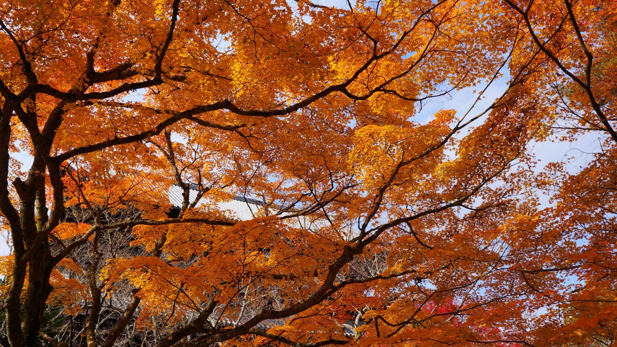 南禅寺の空を覆う雄大な紅葉