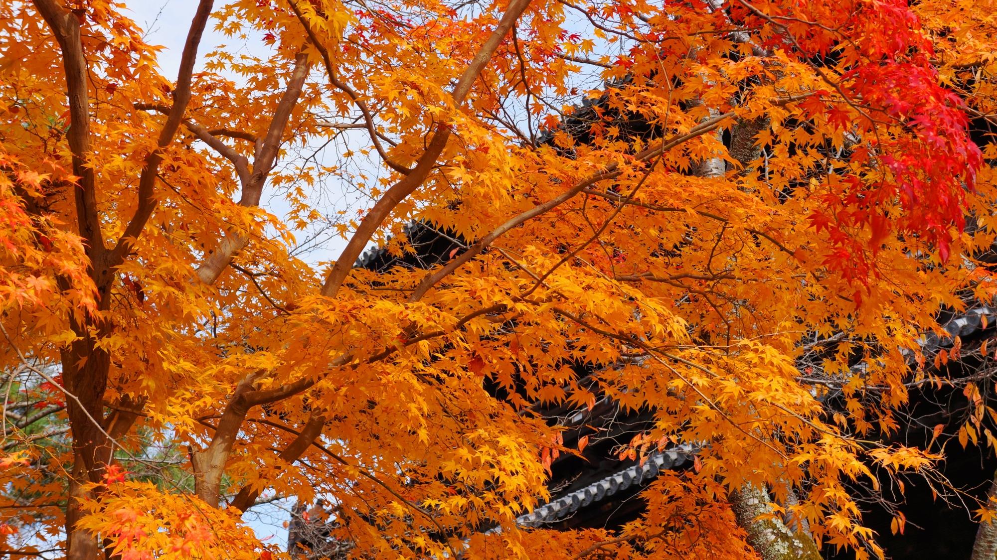 三門を彩る見事な色づきの紅葉