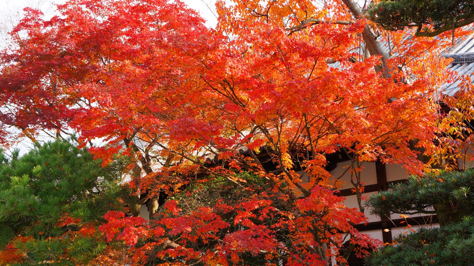 見事に色づく豪快な紅葉