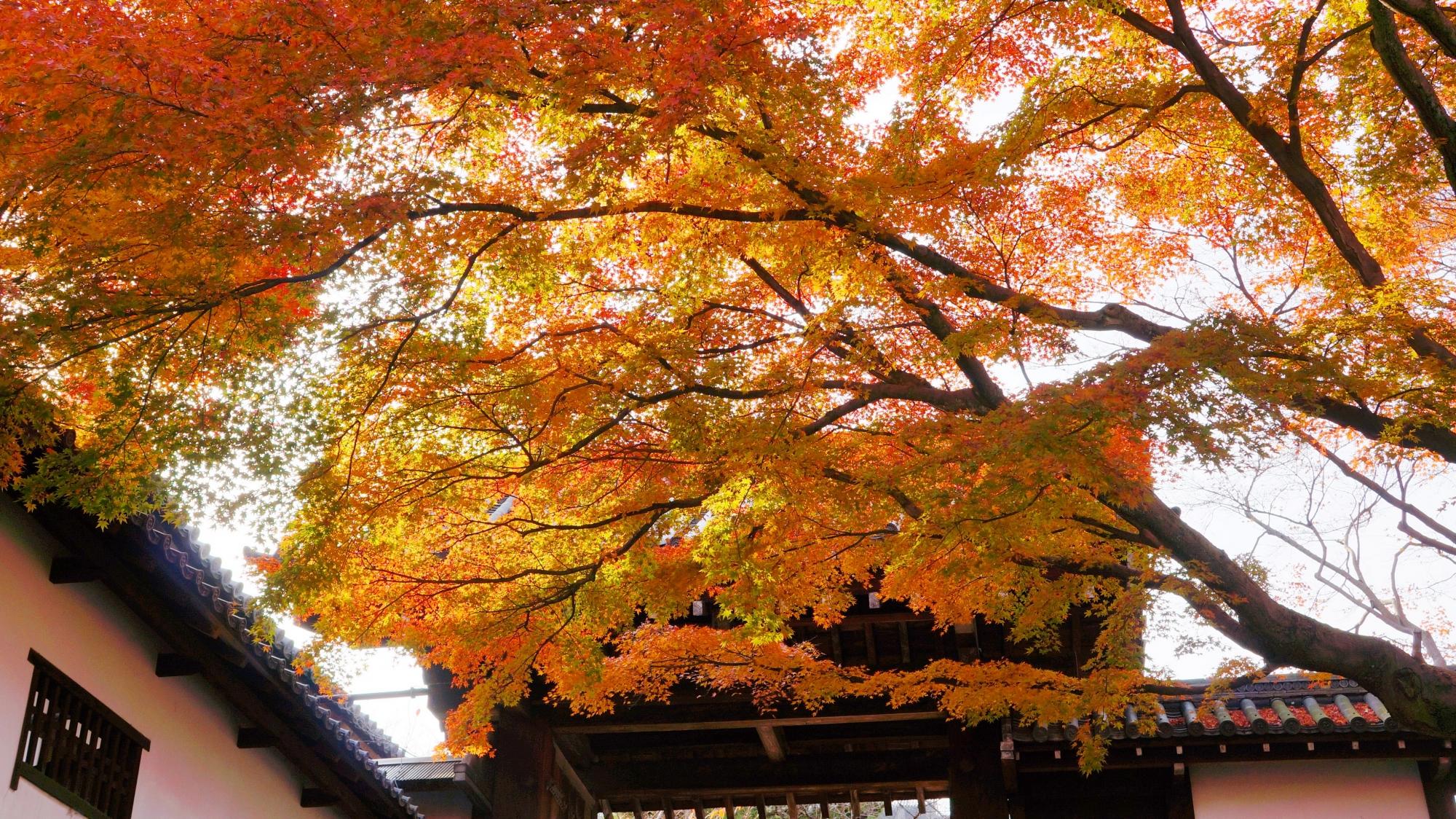 知恩院の北門と空を覆う暖かな色合いの紅葉