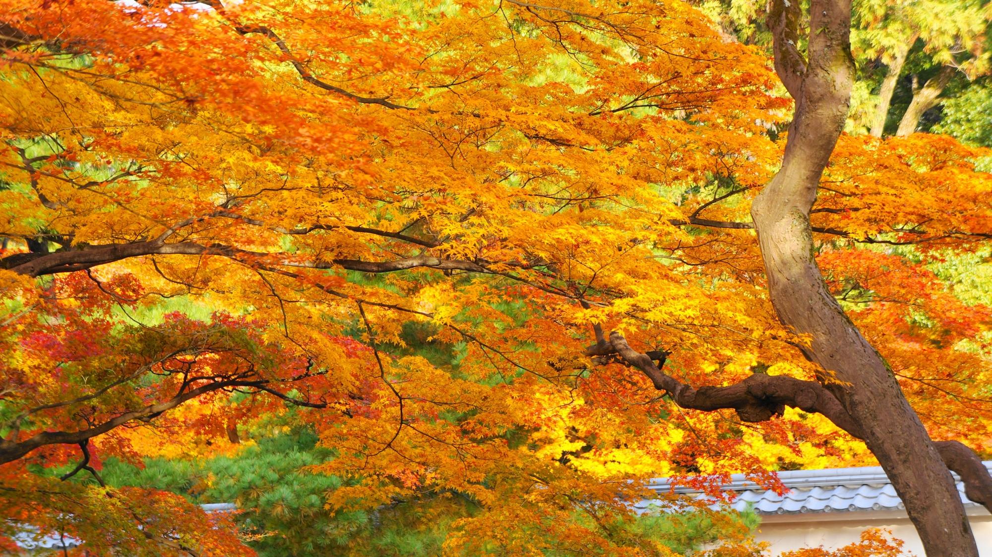 知恩院の煌く華やかな秋色