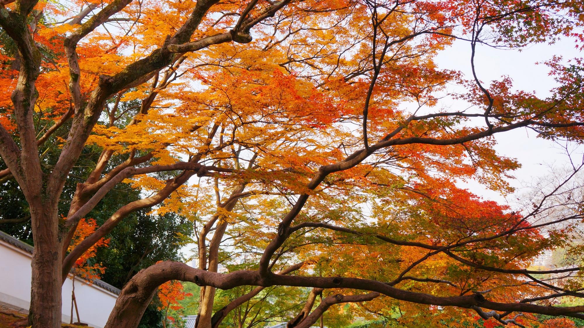 静かな黒門坂でたくさんの枝を伸ばして色づく