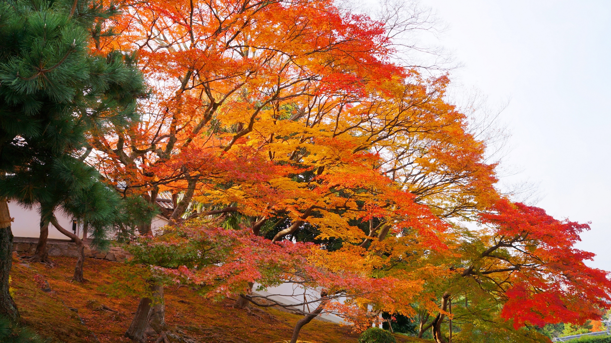 知恩院のU字になっている黒門坂の中で華やぐ雄大な紅葉