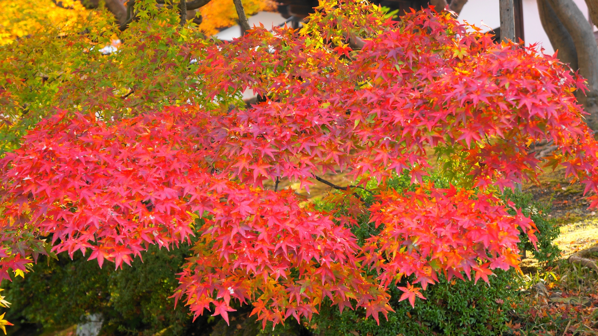 知恩院の綺麗に色づく紅葉