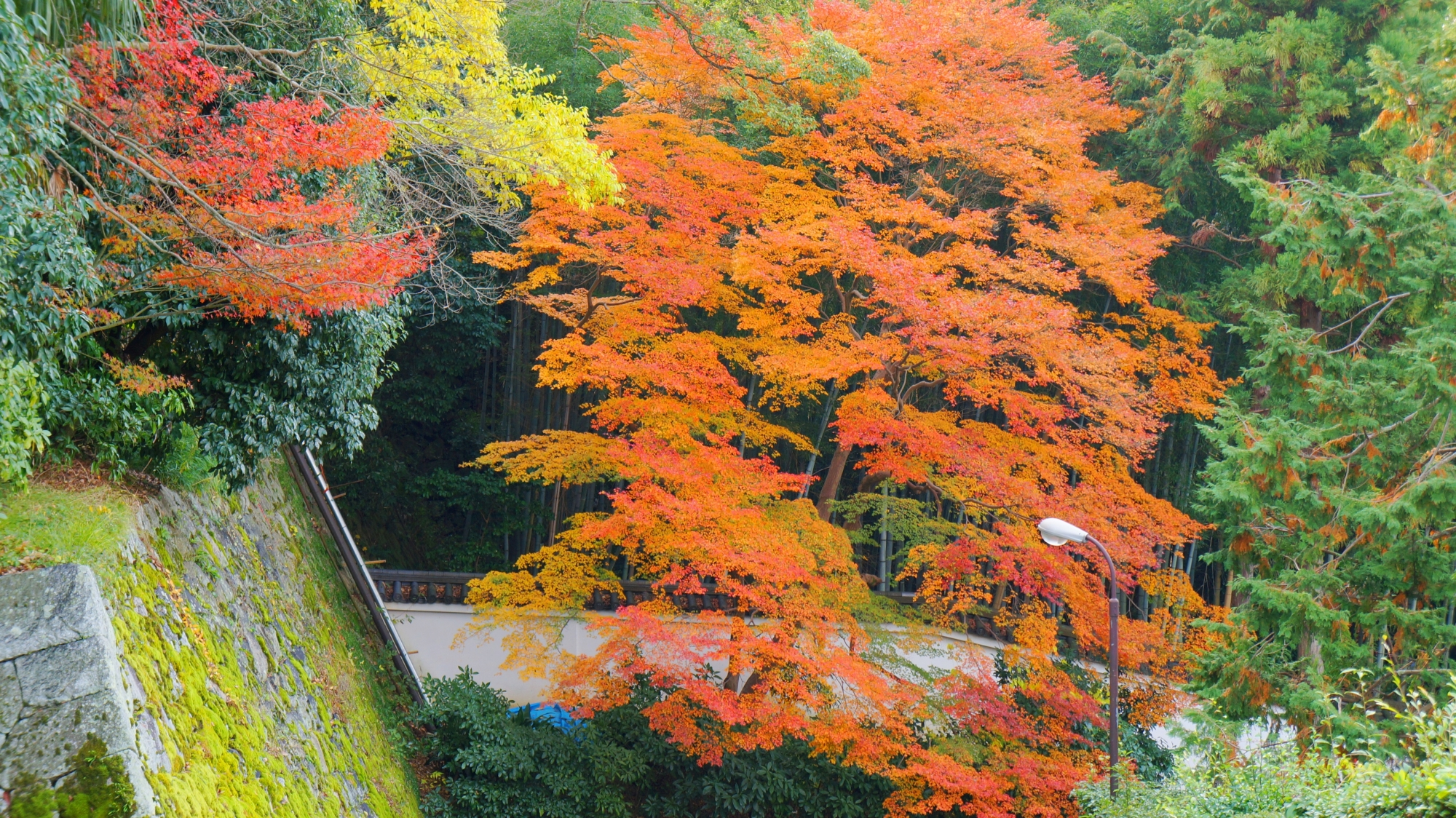 黒門坂の緑の中で優雅に色づく淡い紅葉