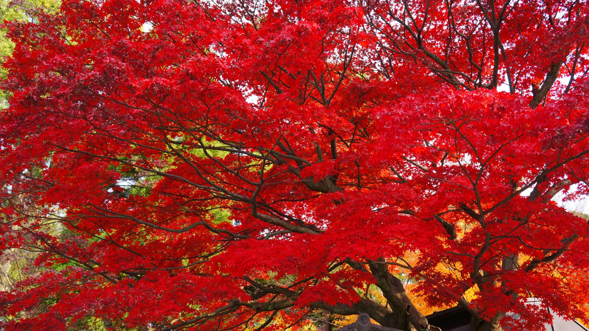 知恩院の黒門近くの燃え上がるような真っ赤な紅葉