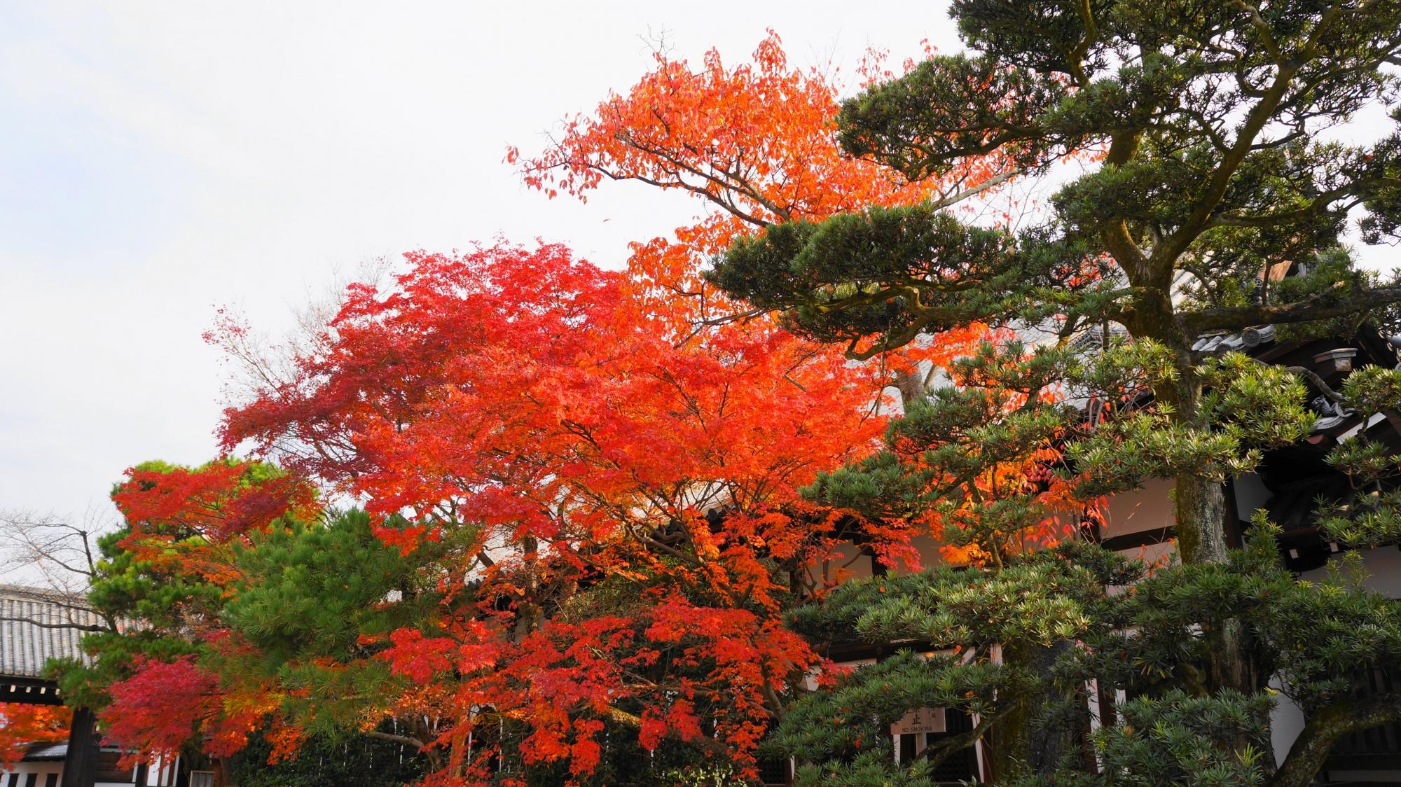 松などの緑の中で華やぐ鮮やかな紅葉