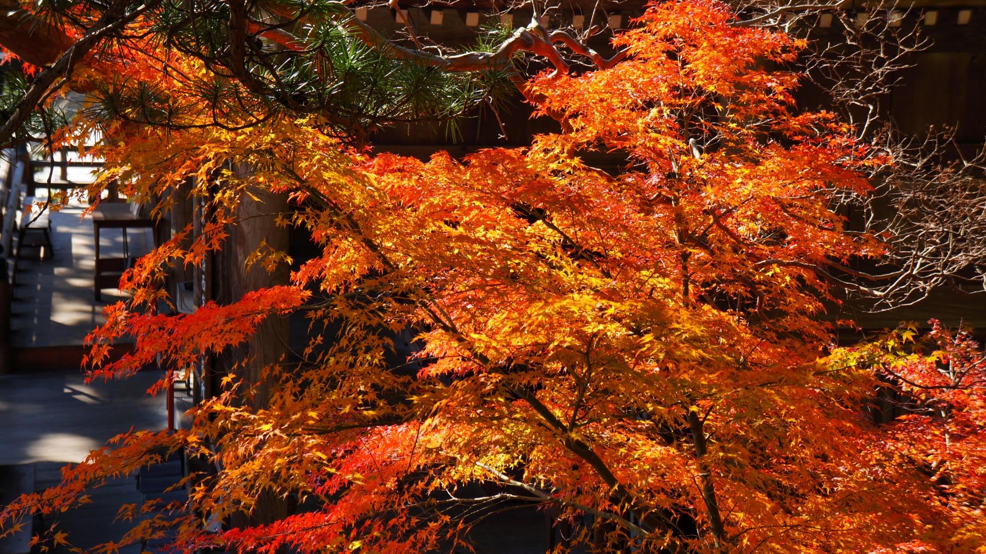 オレンジ色に煌く眩しい紅葉につつまれる本堂