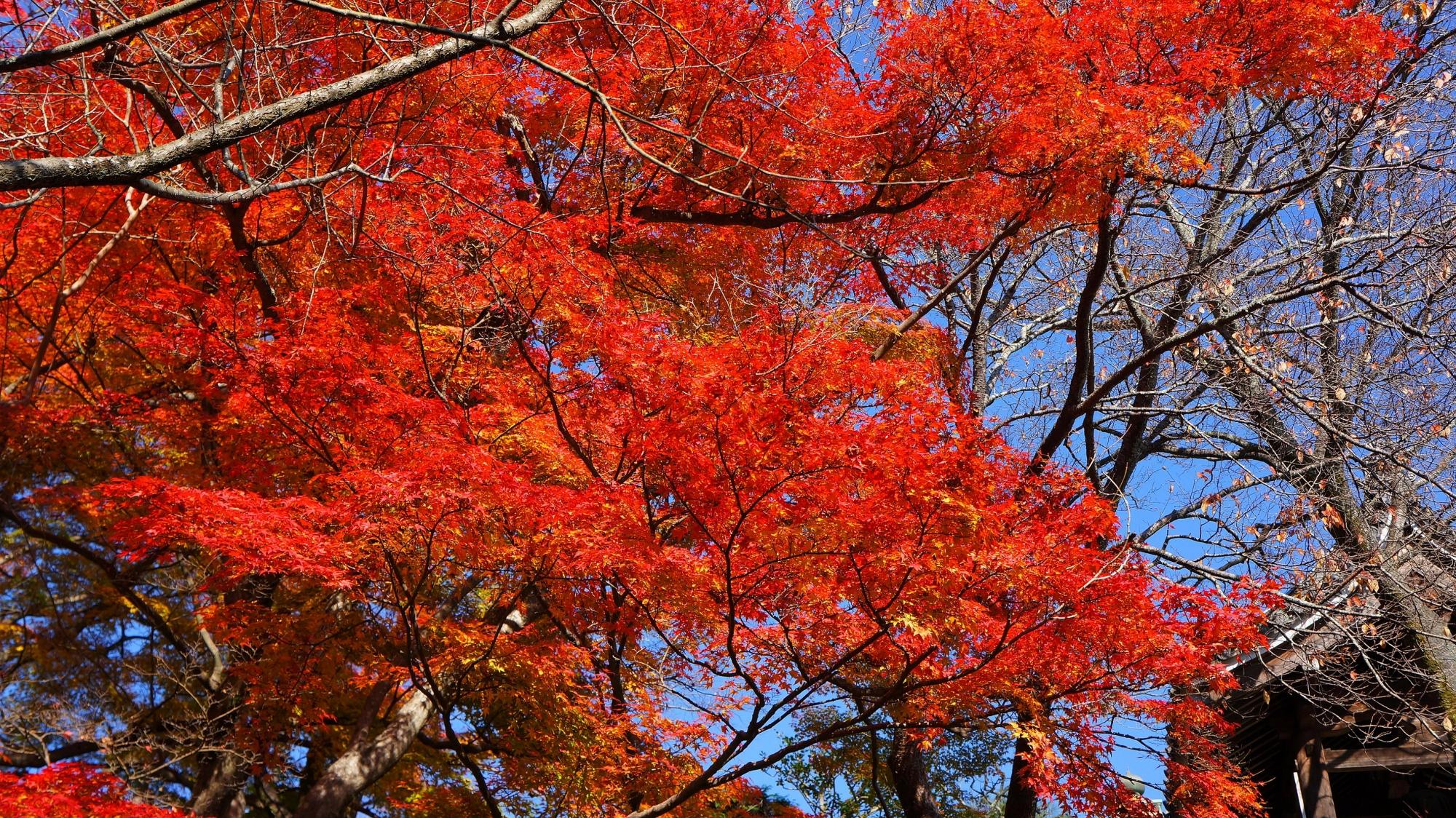つりがね堂と燃えるように真っ赤に色づく紅葉