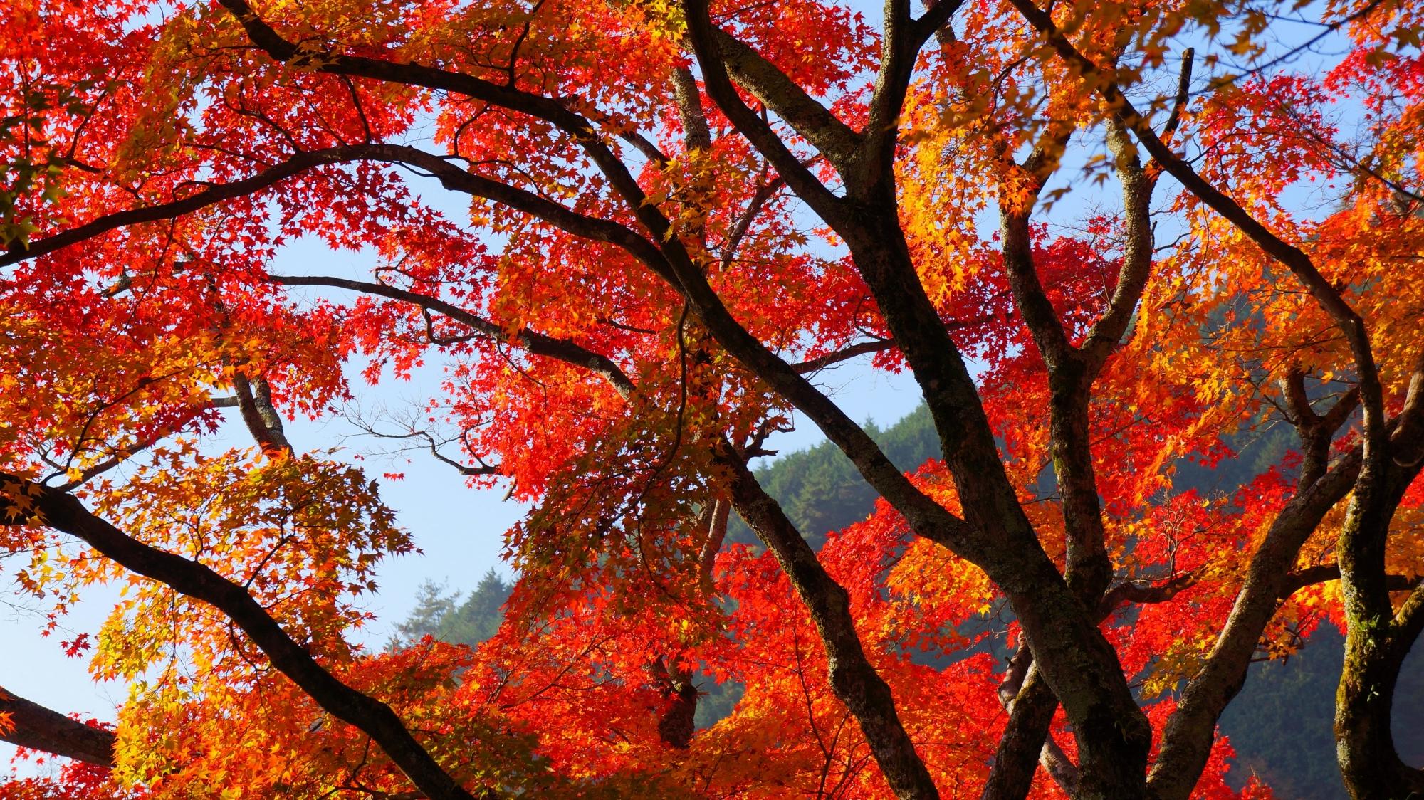 善峯寺のつりがね堂の空を覆う赤い紅葉