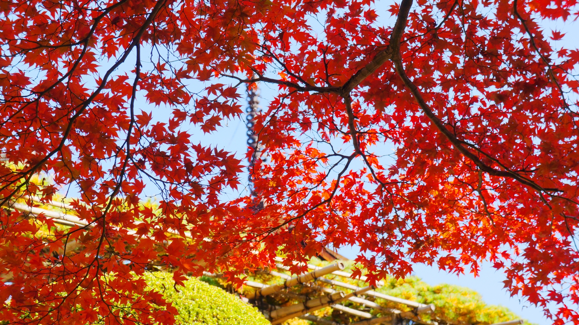 善峯寺の良く色づいた空を覆う赤い紅葉