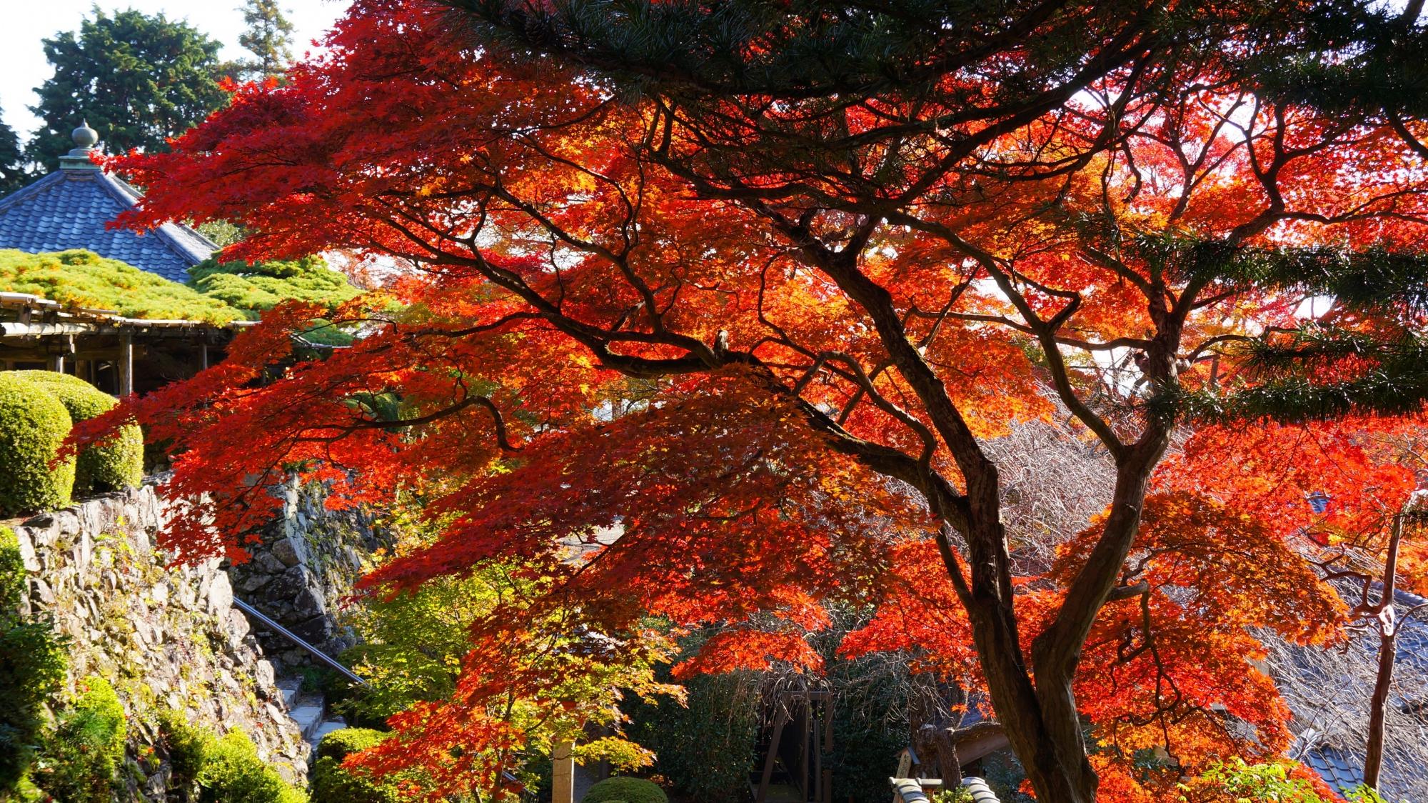 空を覆う赤い紅葉と遊龍の松
