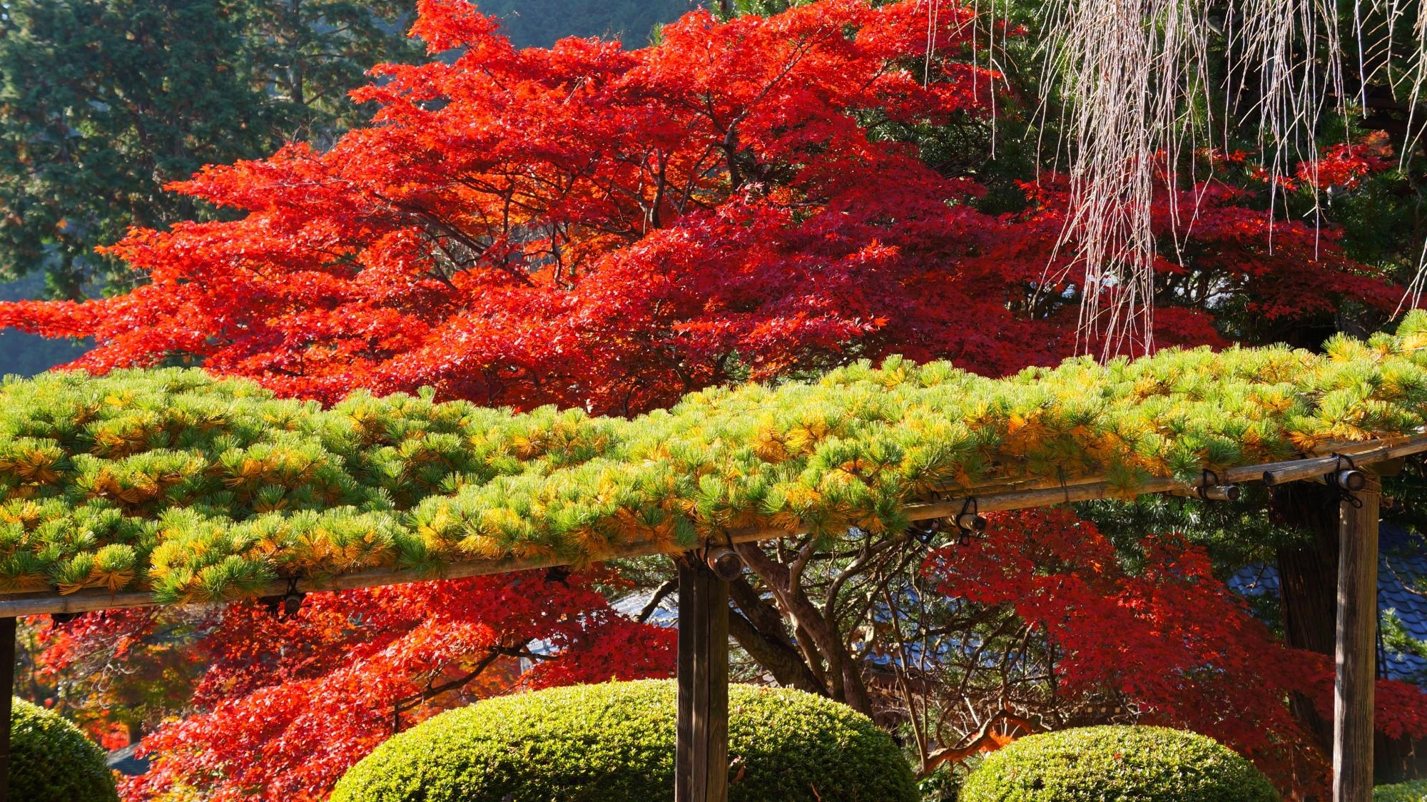 遊龍の松と真っ赤な紅葉