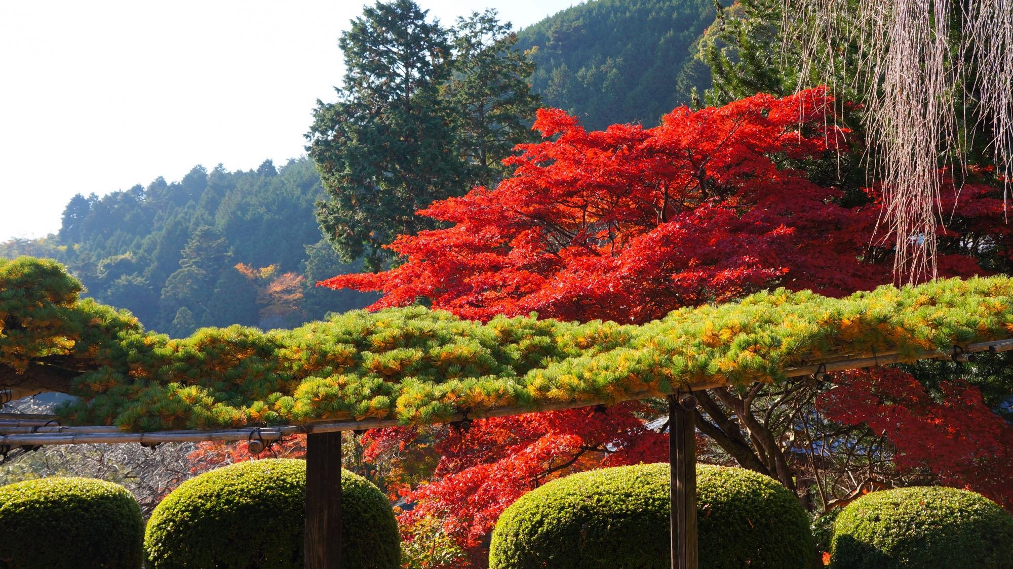 紅葉と遊龍の松の赤と緑のコントラスト