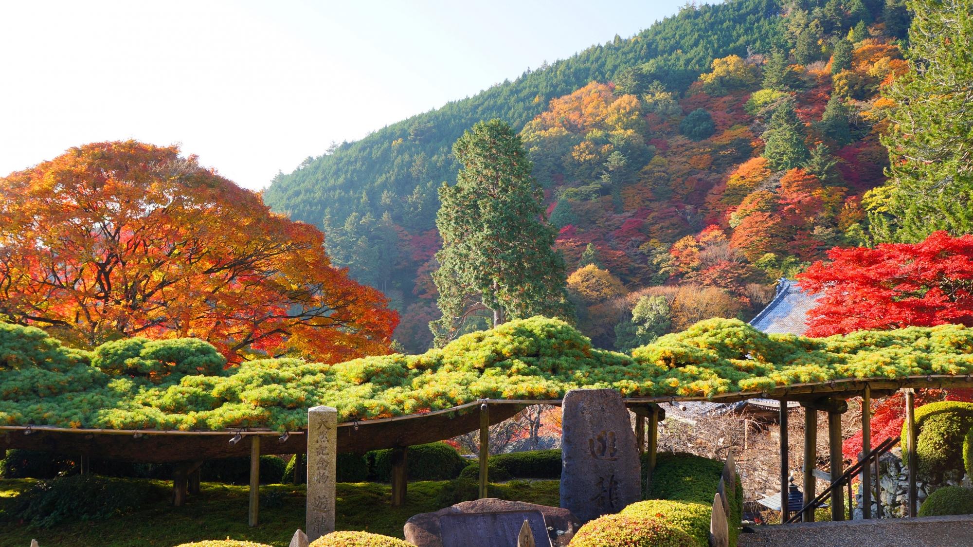 善峯寺の伽藍や遊龍の松の素晴らしい紅葉や情景