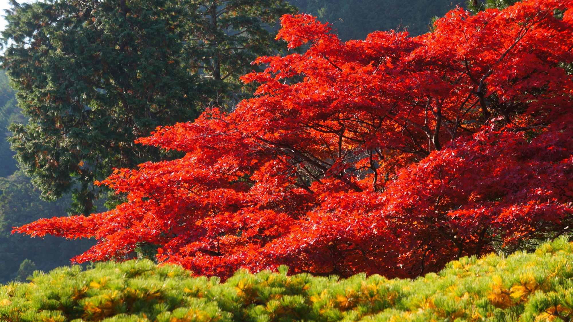 善峯寺の遊龍の松と燃えるような赤い紅葉