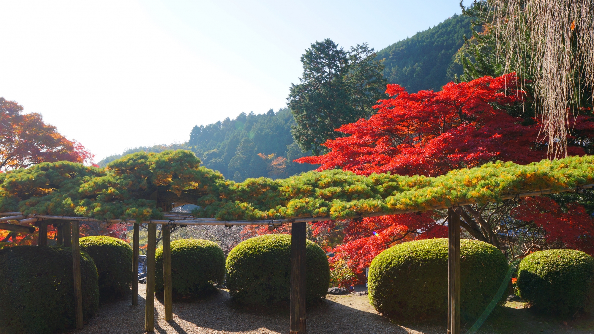 善峯寺の遊龍の松と紅葉