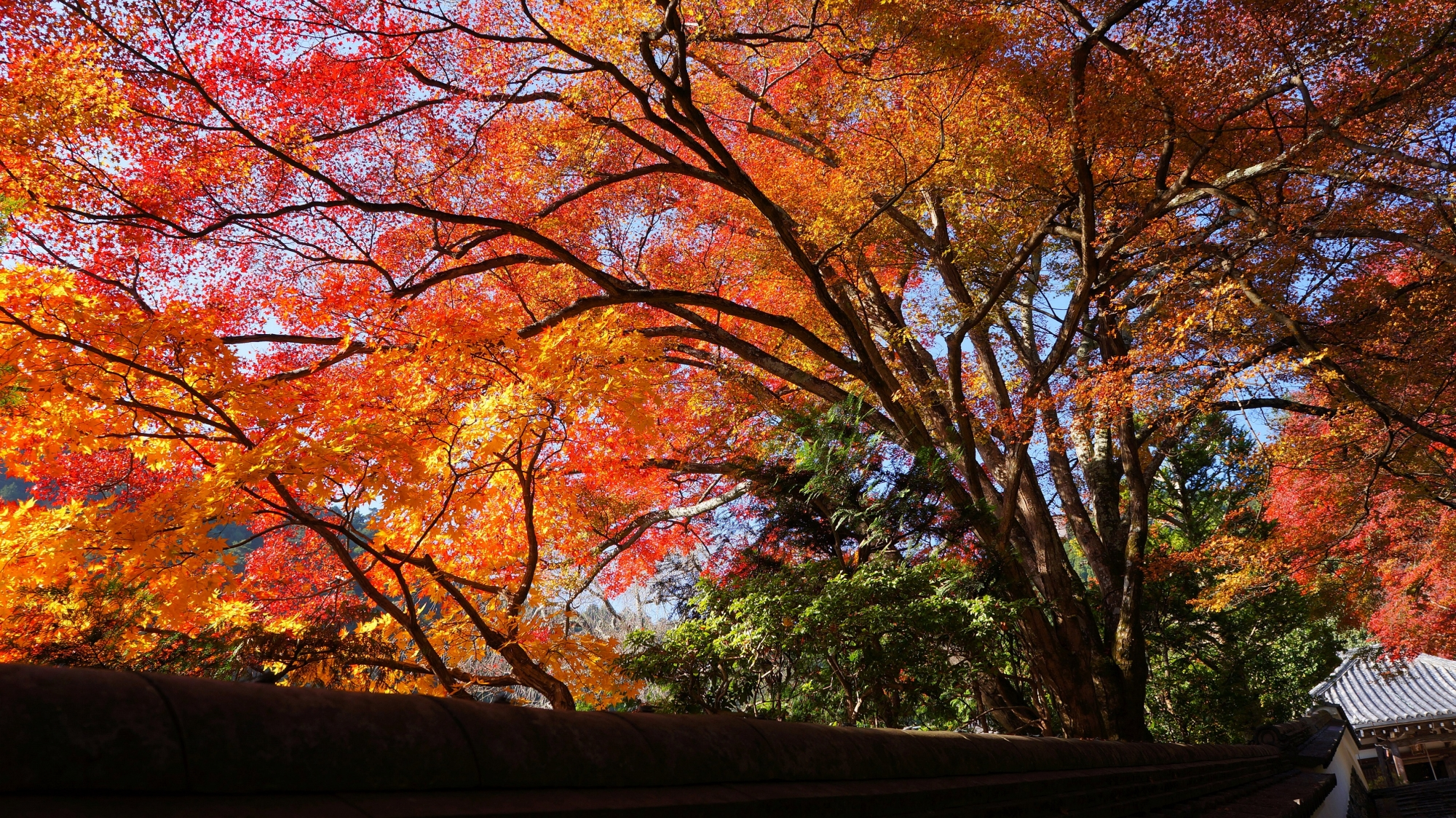 Brilliant gorgeous autumnal leaves of Yoshimine-dera Temple in Kyoto
