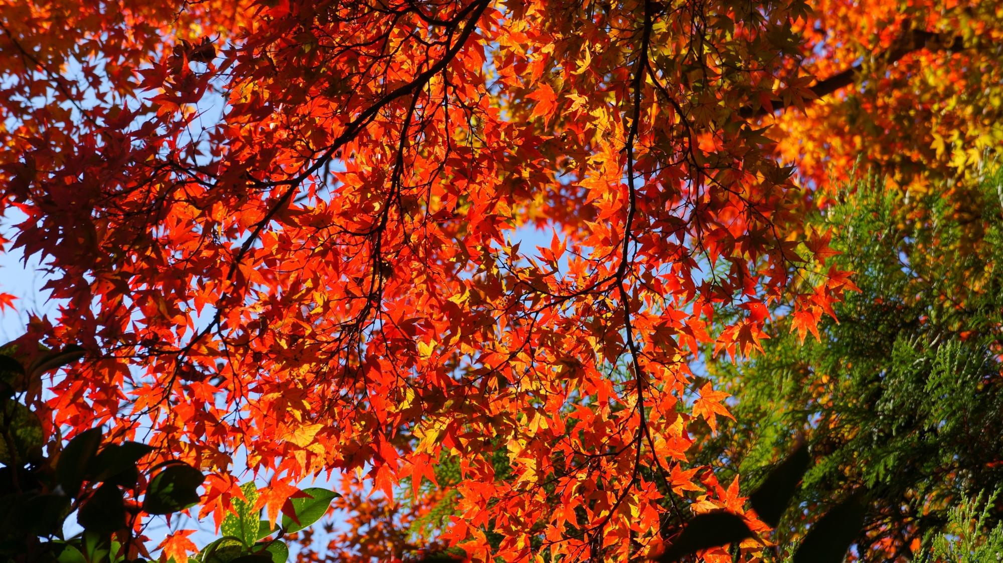 善峯寺の煌びやかに輝く紅葉