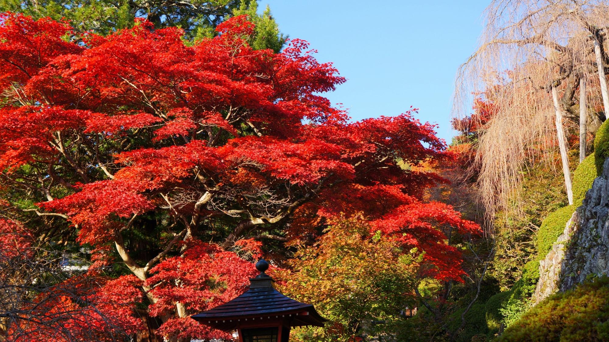 善峯寺の溢れ出しそうな圧巻の赤い紅葉