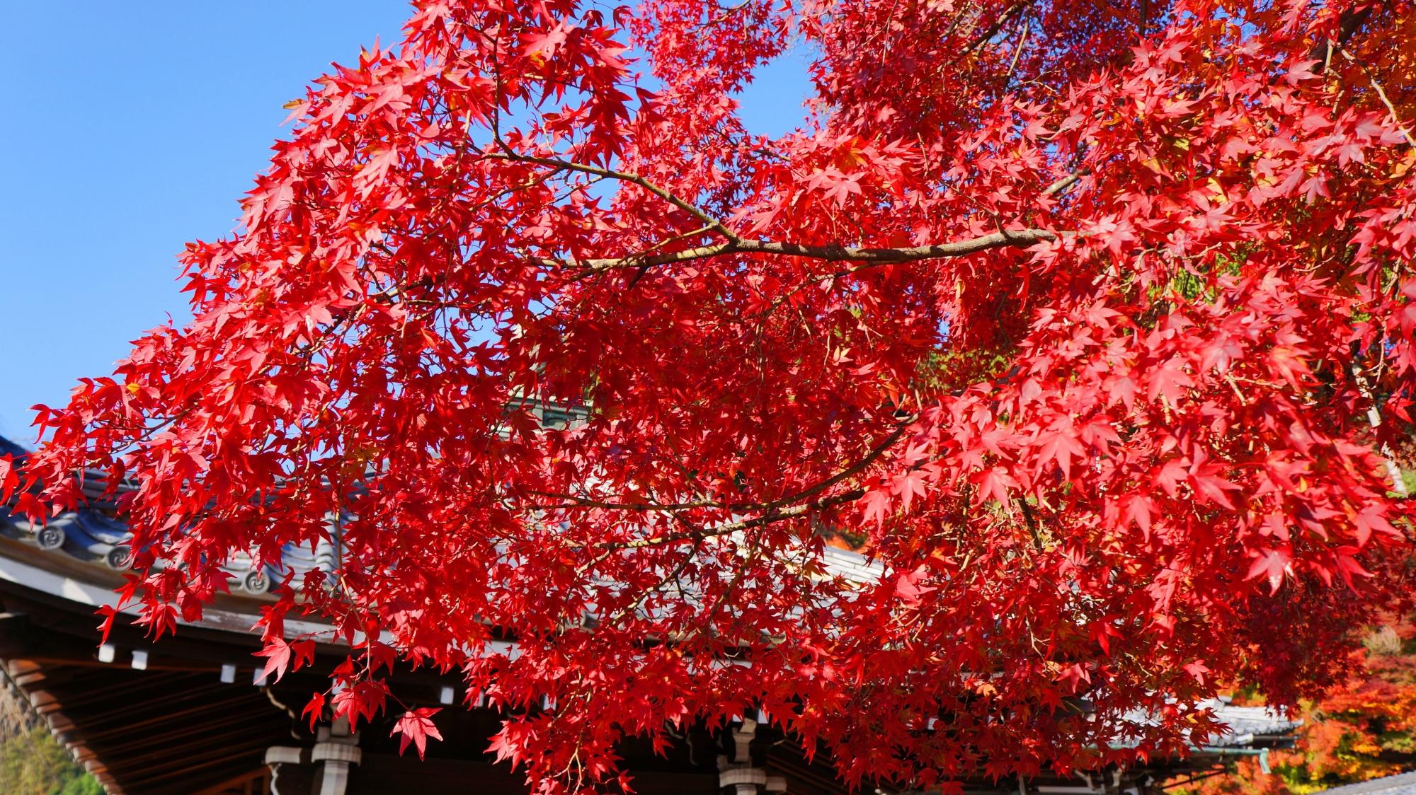 善峯寺の濃く綺麗に色づいた紅葉