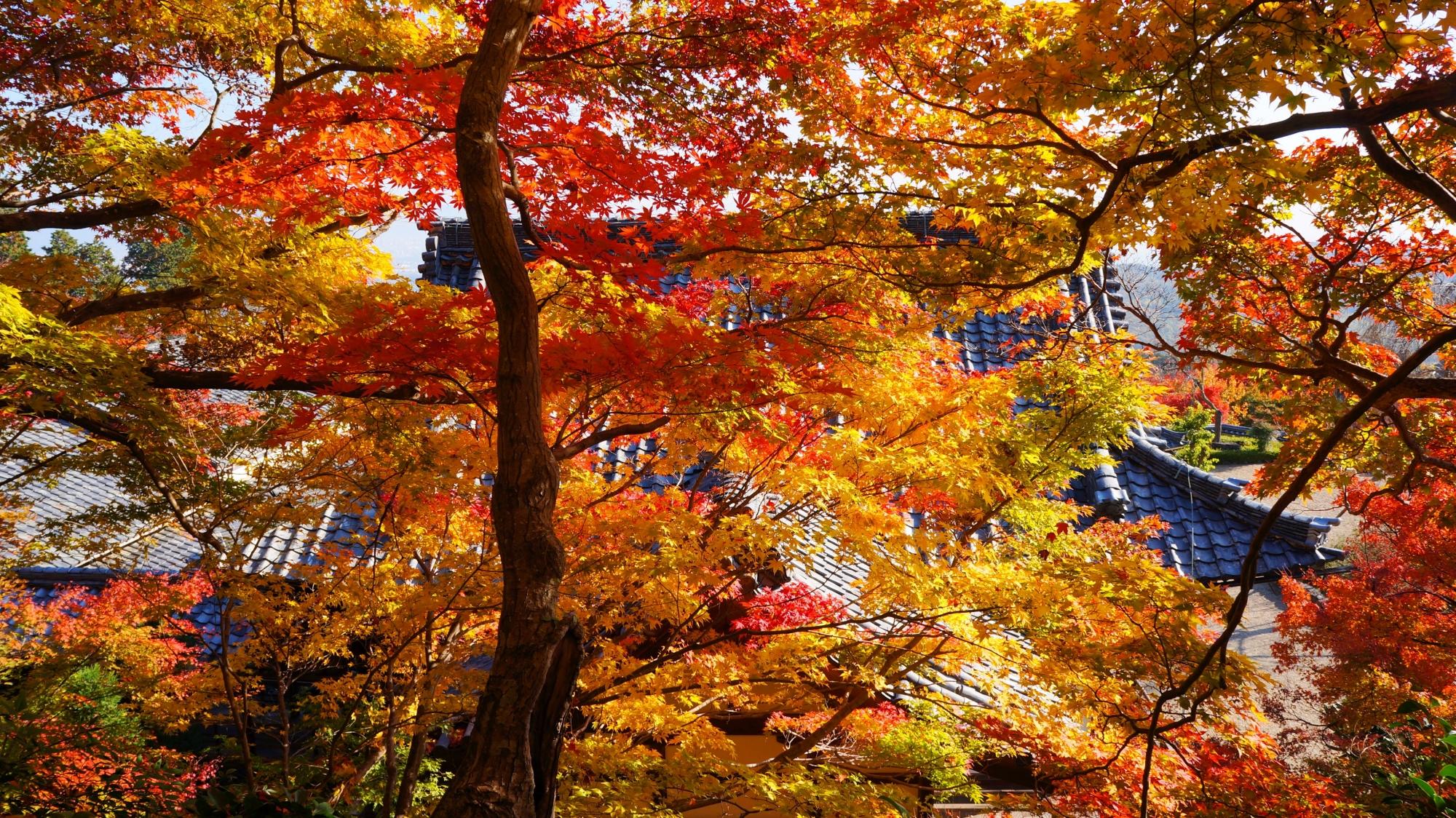 善峯寺の煌びやかに光る紅葉