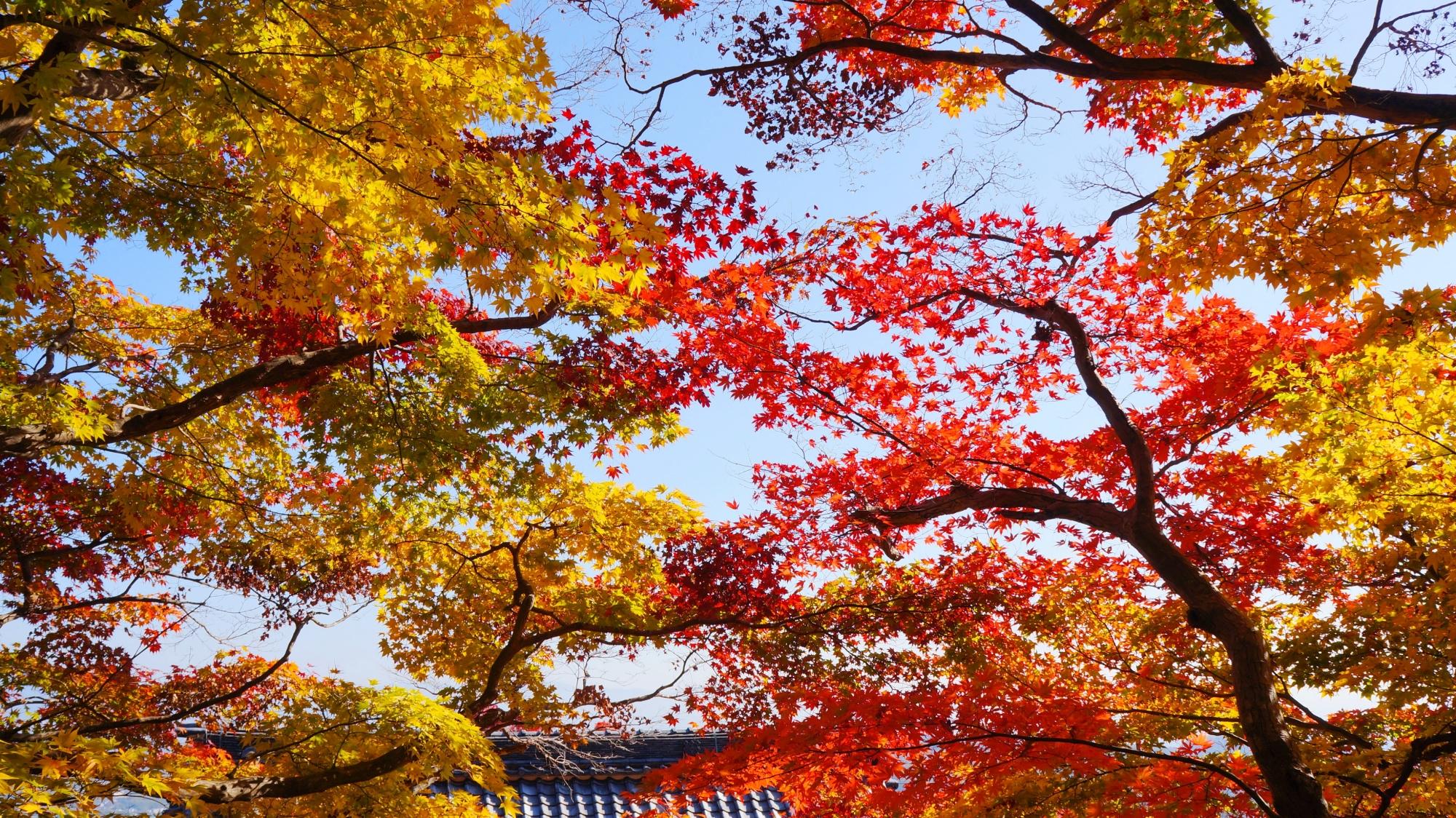 善峯寺の秋晴れに映える華やかな紅葉