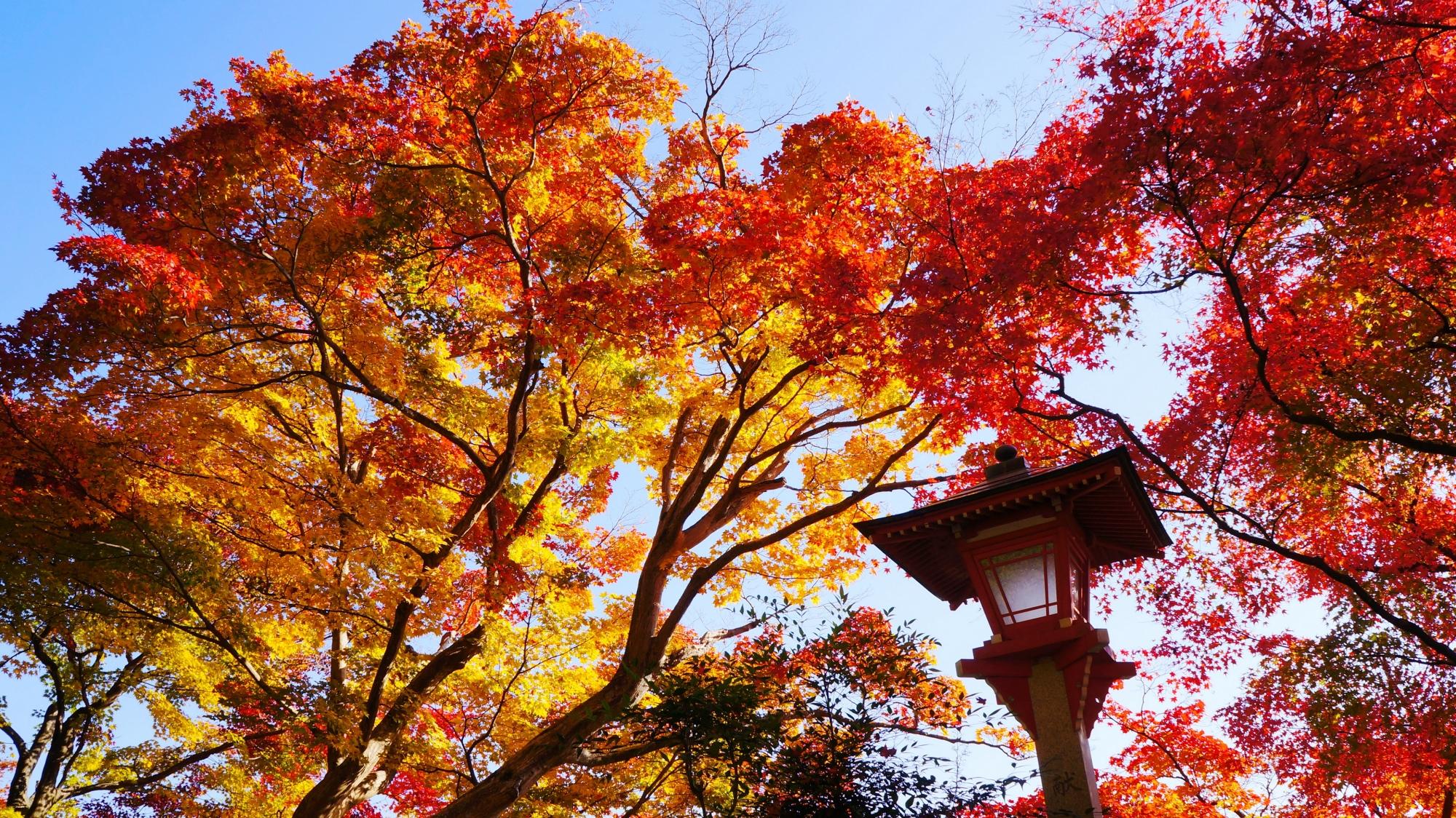 善峯寺の青空と太陽に透ける紅葉
