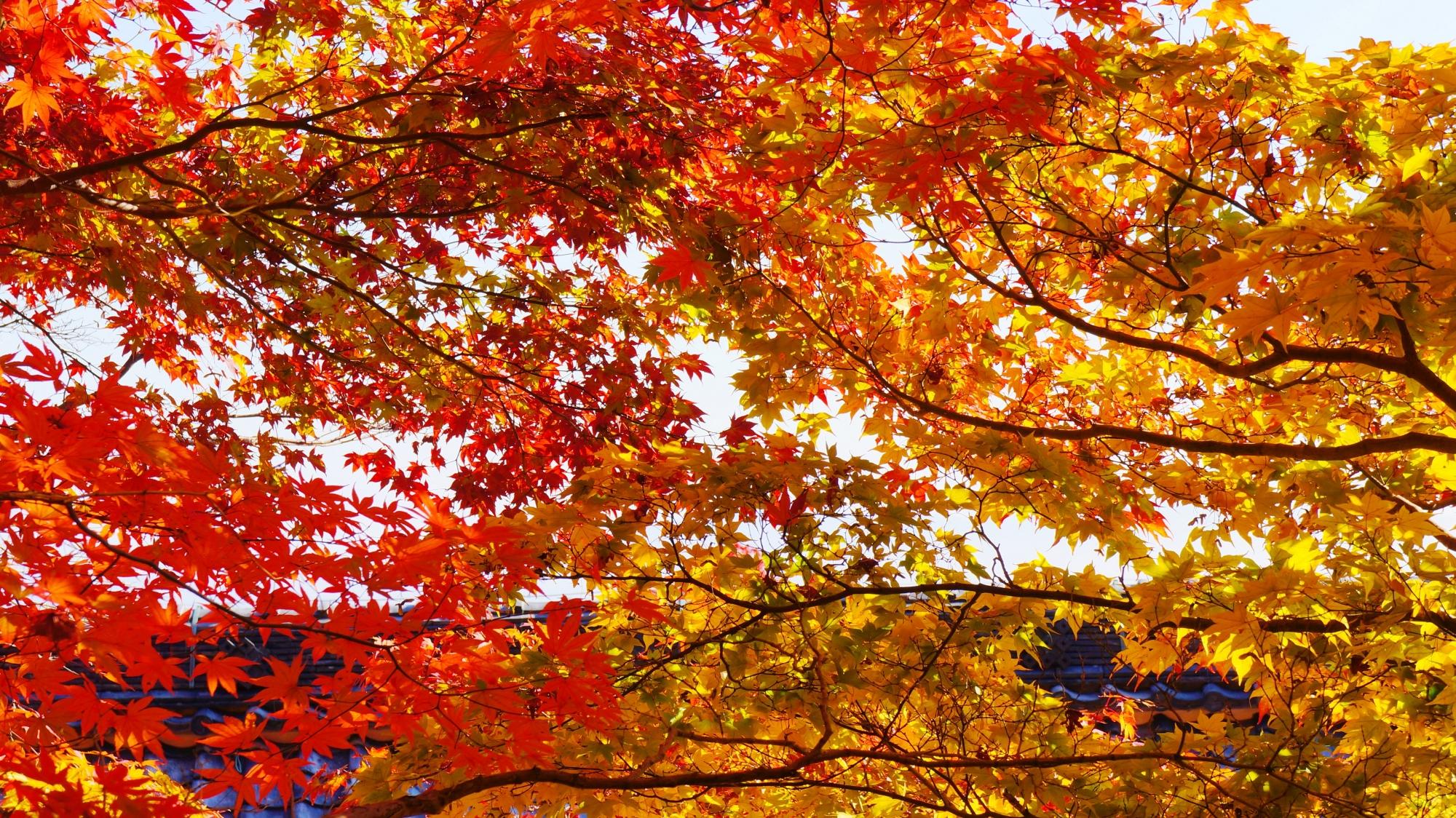 輝く赤や黄色の紅葉