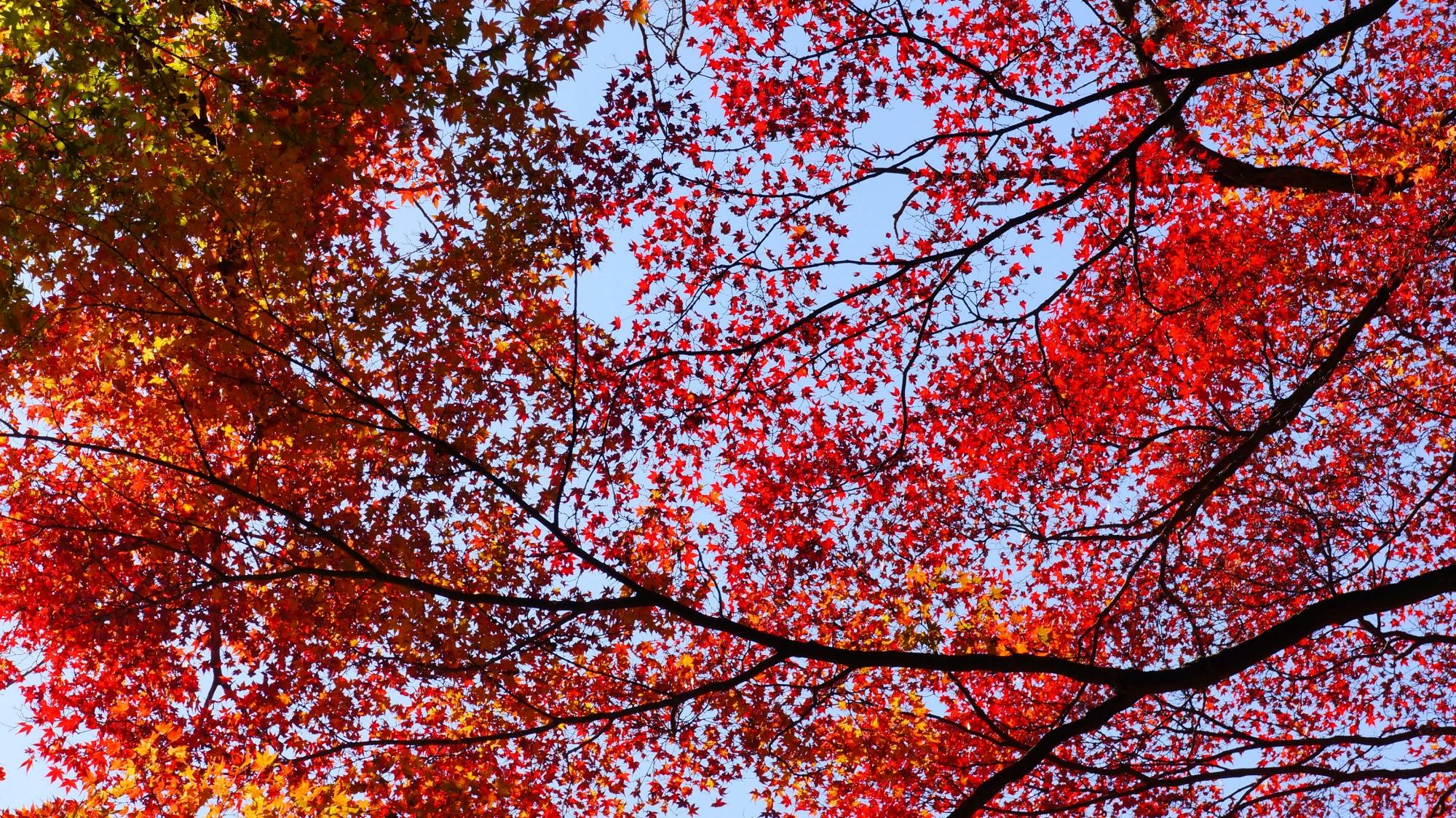 凄すぎる善峯寺の紅葉