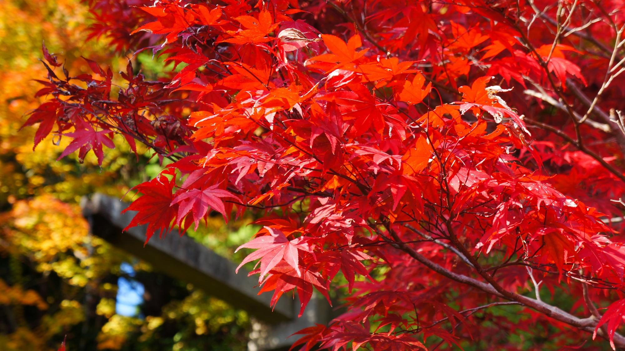 善峯寺の青蓮の滝の真っ赤な紅葉