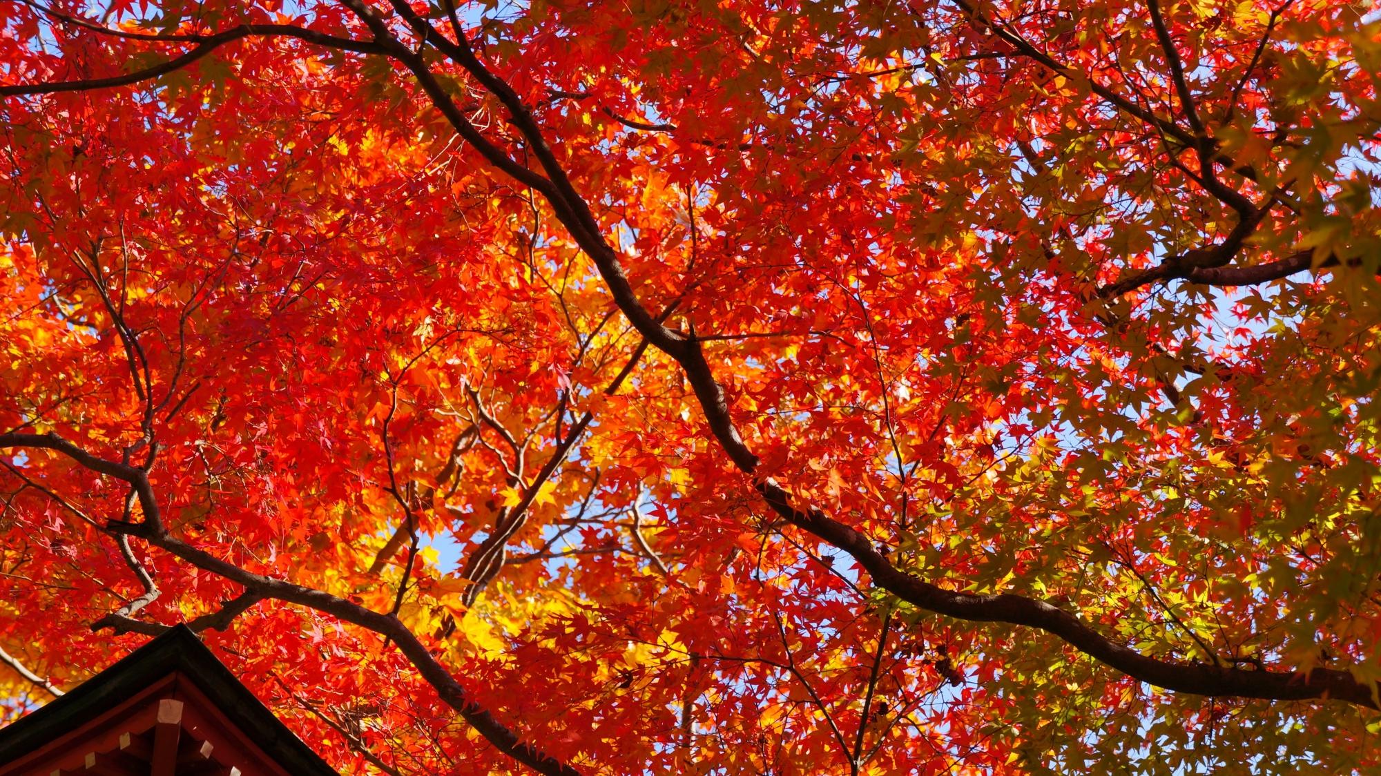 善峯寺の秋晴れの空を覆う赤い紅葉