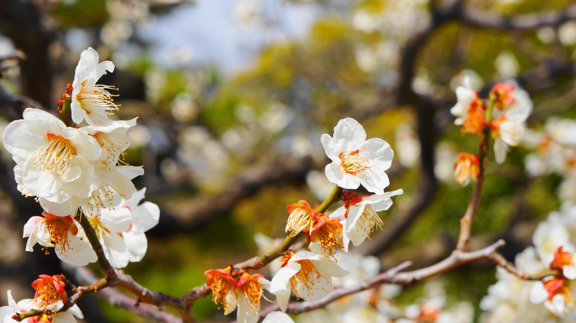 いろんな方向を向いた梅の花